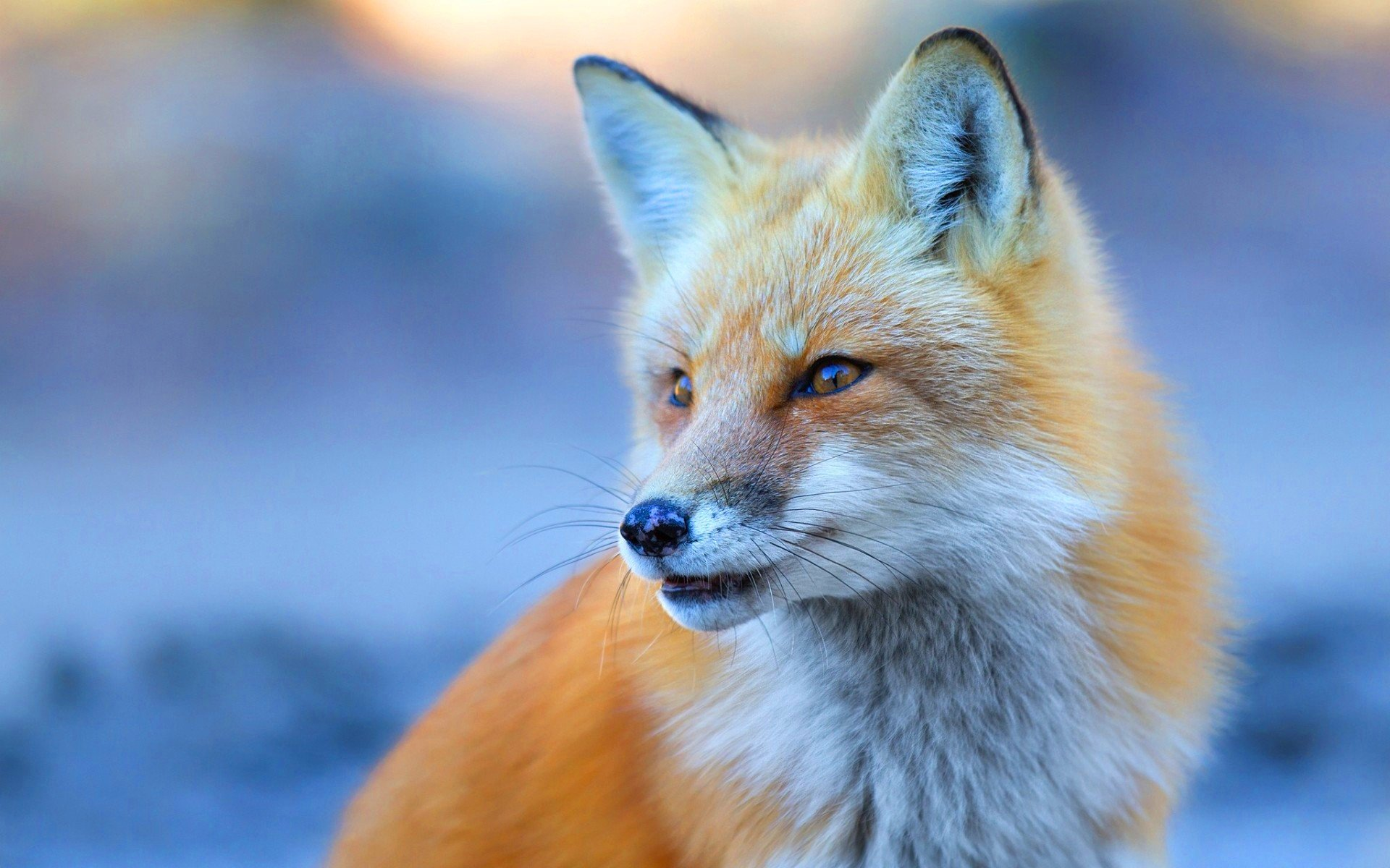 Cute Fox Wallpaper - WallpaperSafari