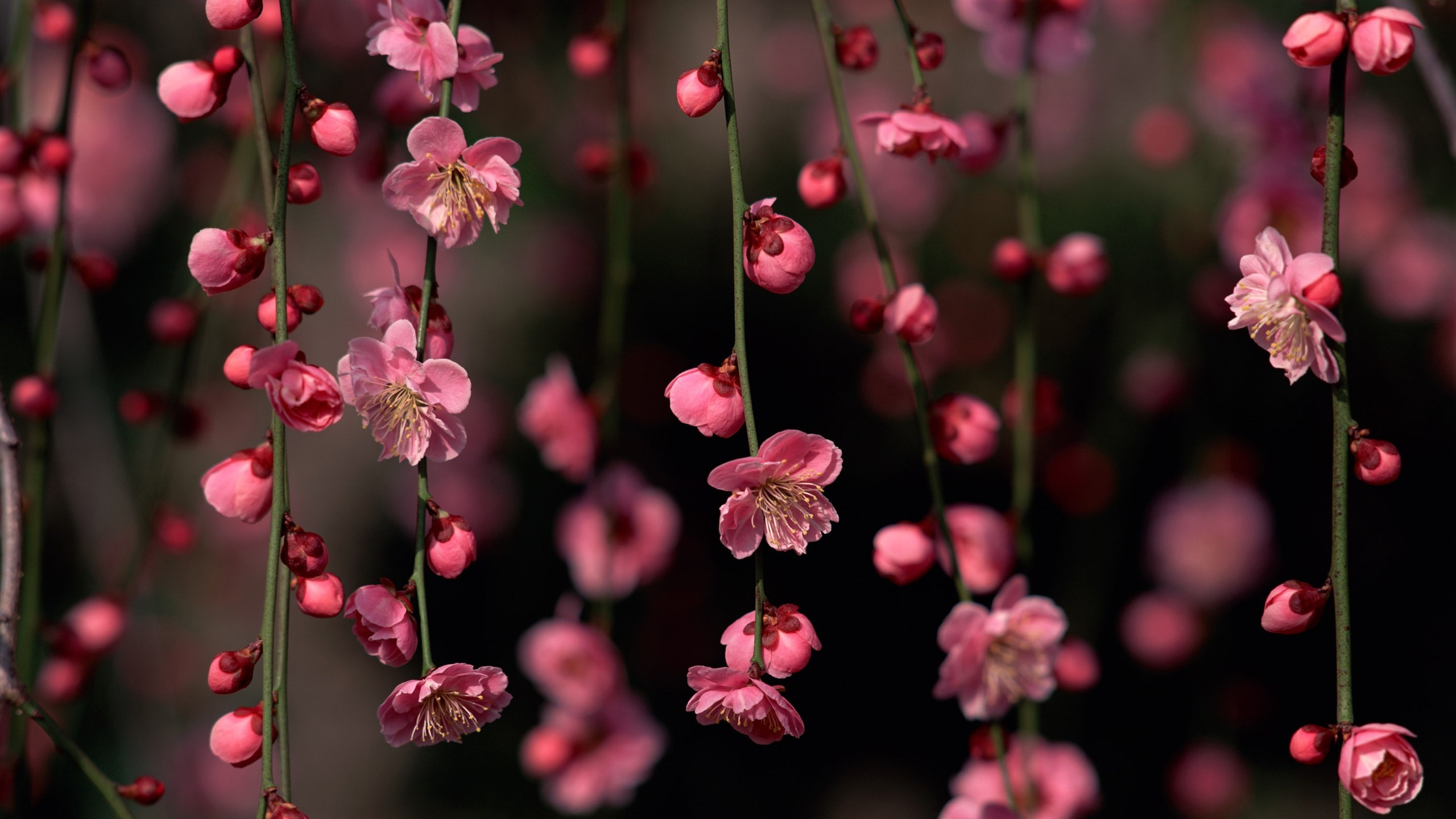 pink wallpapers flowers spring wallpaper 2560x1440 2560x1440
