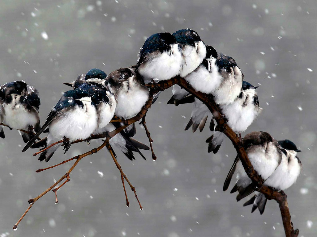 Birds in Snow Fall Rain One HD Wallpaper Pictures Backgrounds FREE 1025x768