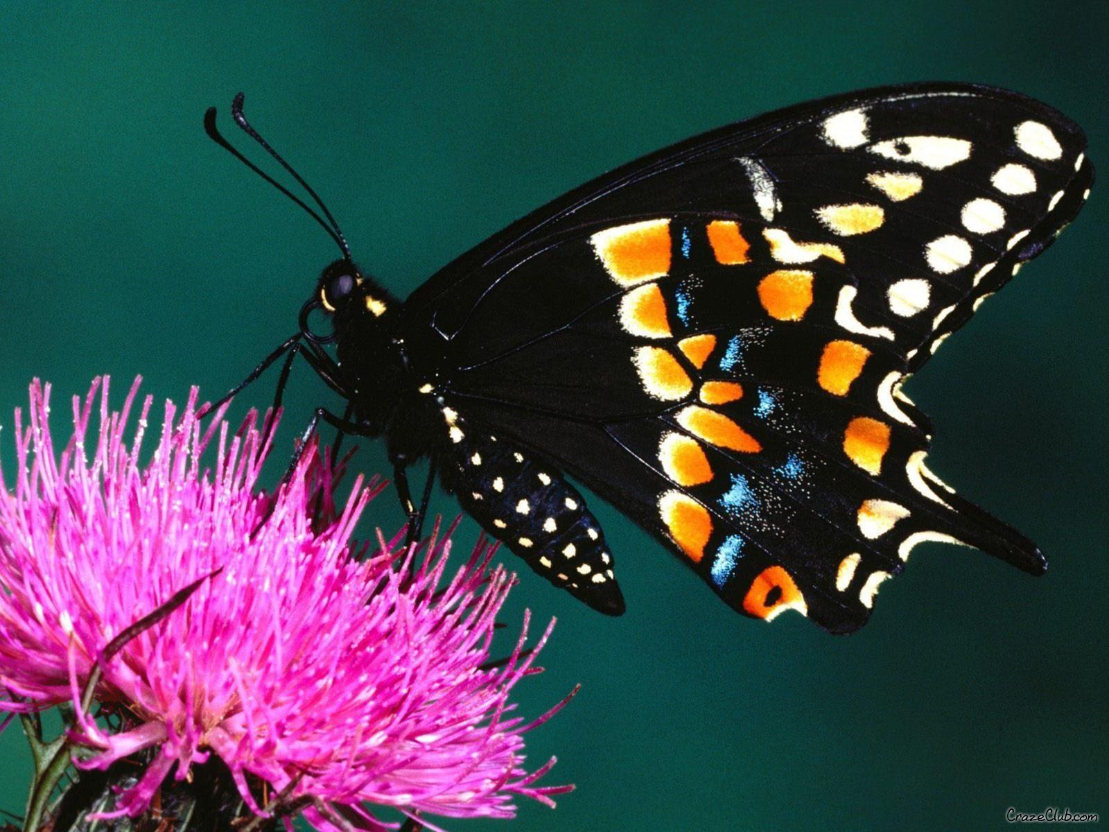 Enjoy Butterfly Beautiful Wallpapers 1600x1200