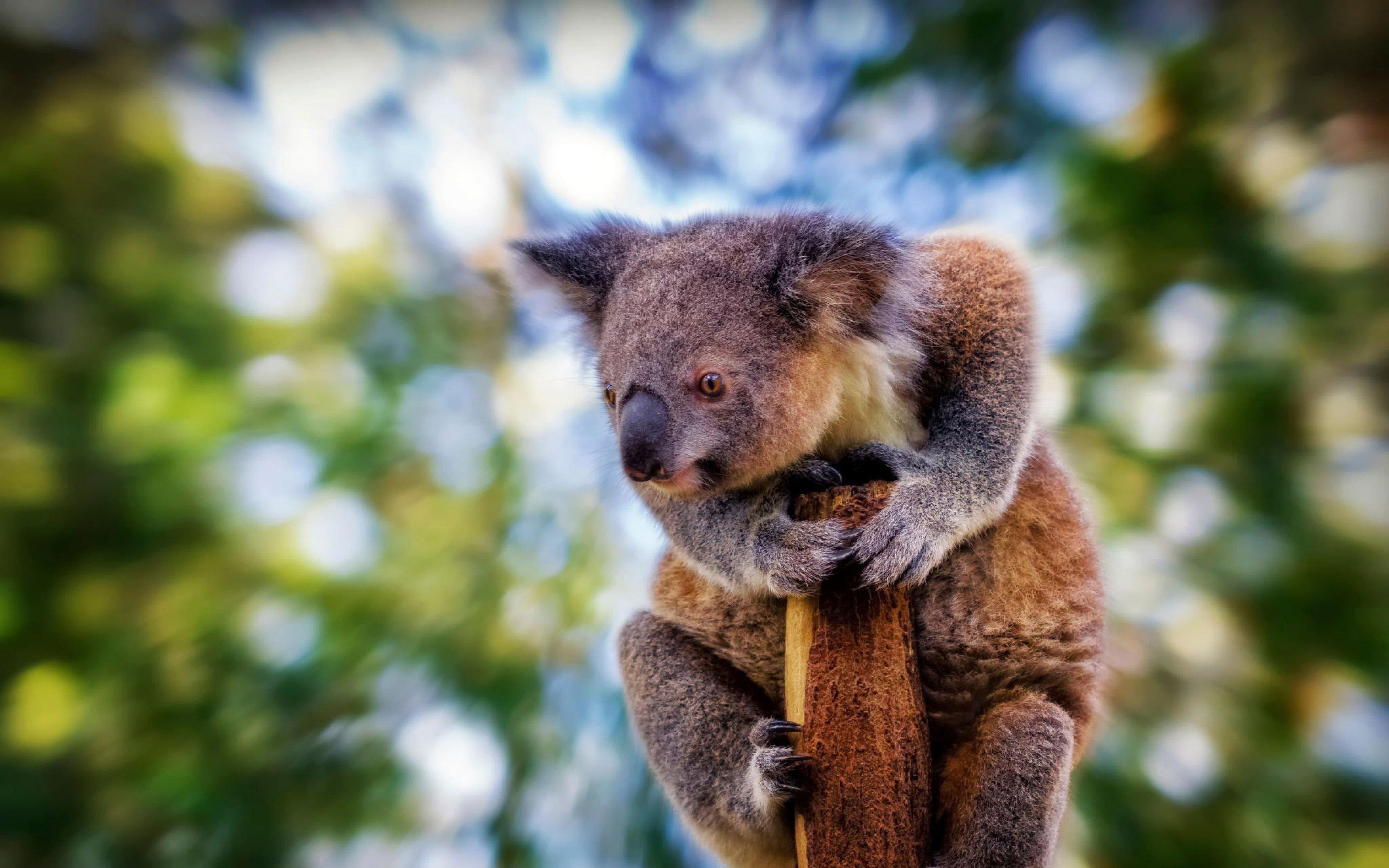 16 Wonderful HD Koala Wallpapers - HDWallSource.com