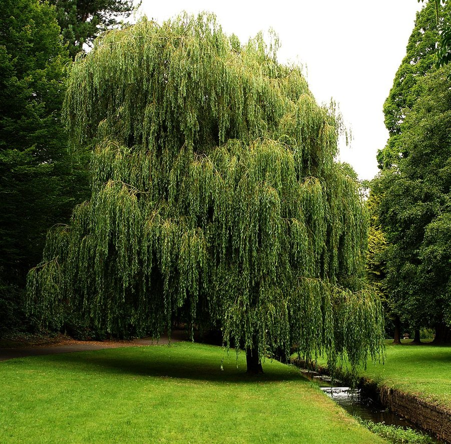weeping willow 3 by awjay 901x887