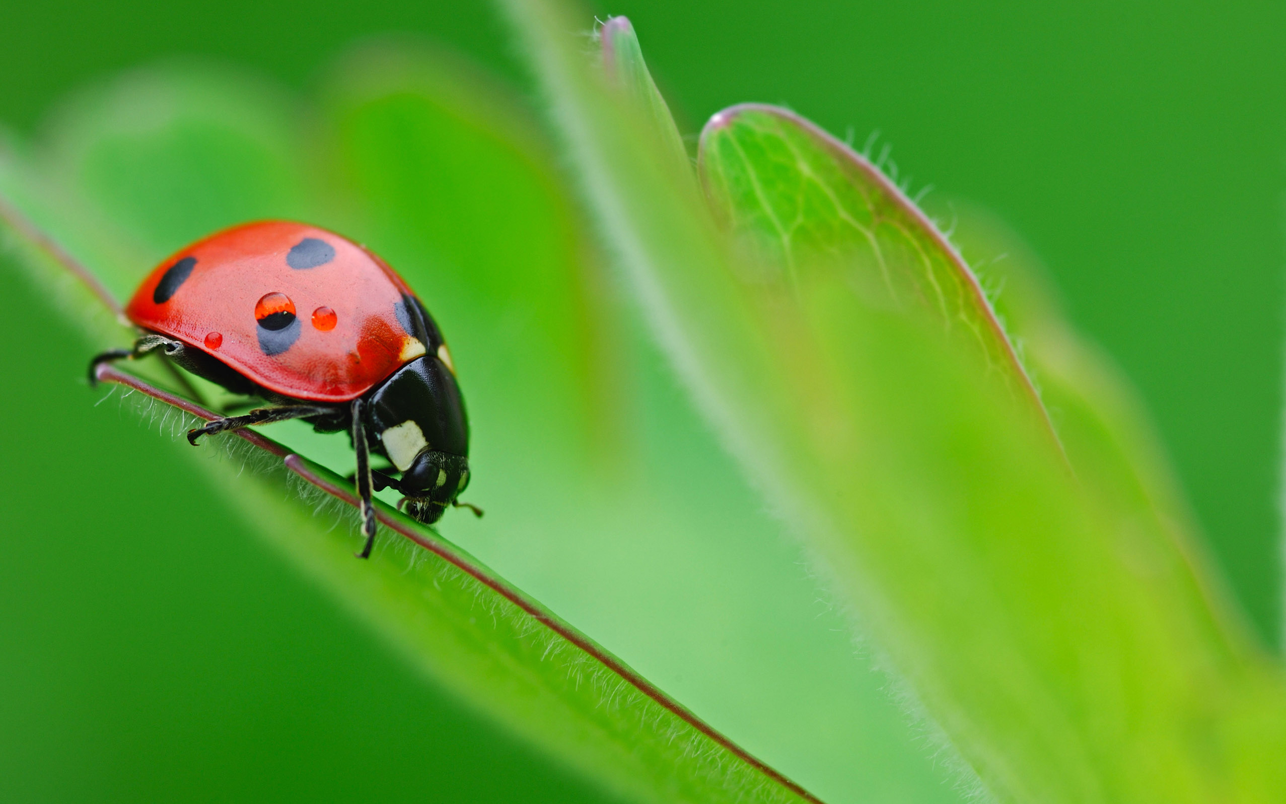 375 Ladybug HD Wallpapers Background Images 2560x1600