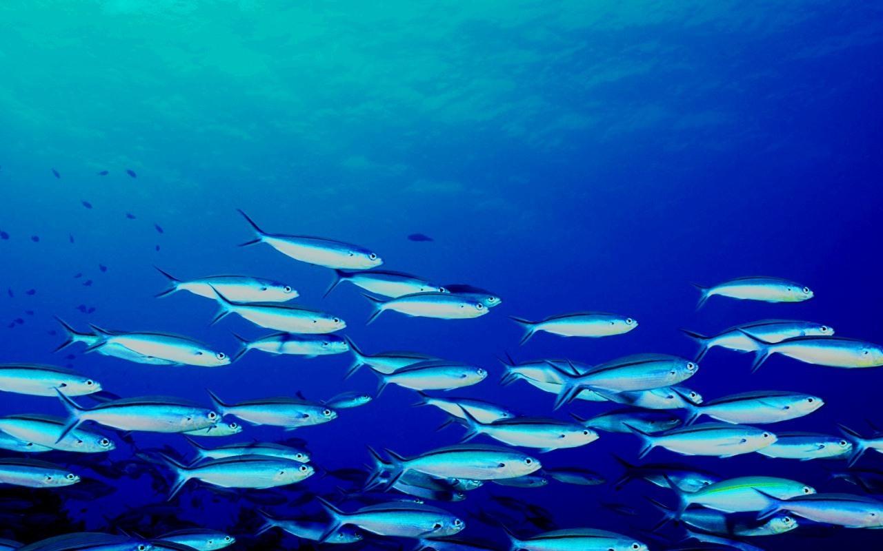 School of fish wallpaper wallpapersafari for School of fish