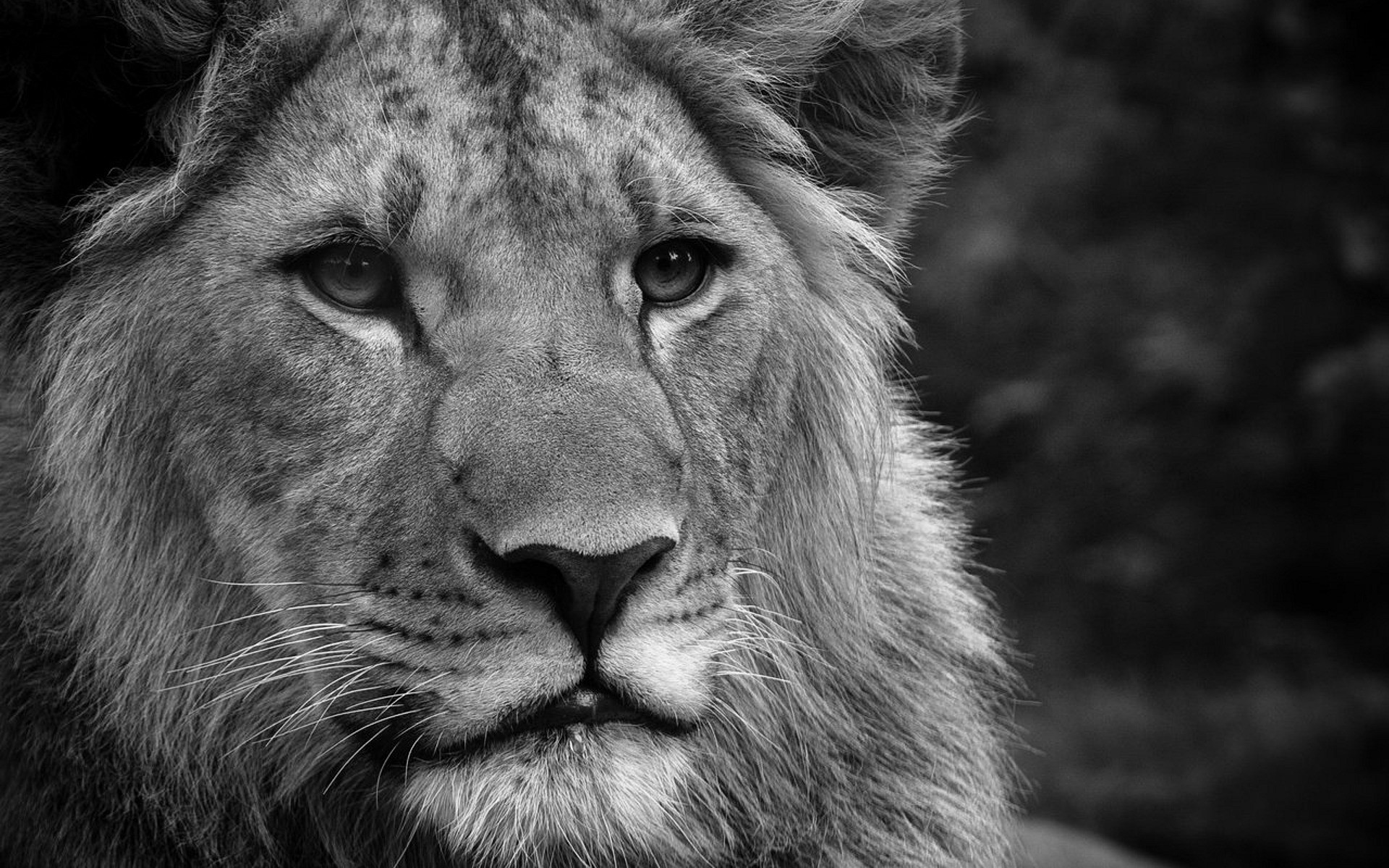 Black And White Wallpaper hd Lion Lions Black And White Photos 1920x1200