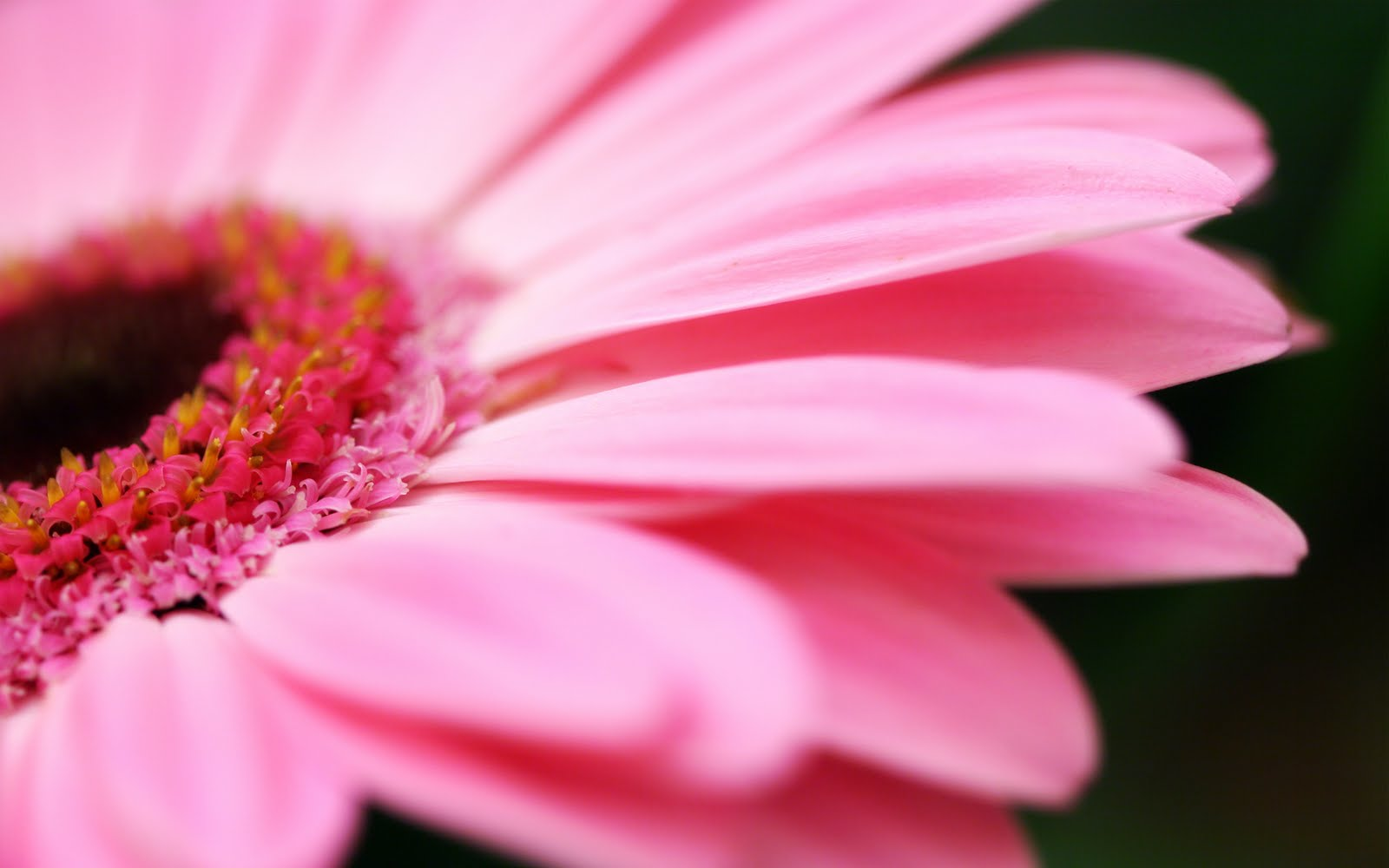 Black and White Wallpapers Pink Flower Wallpaper 1600x1000