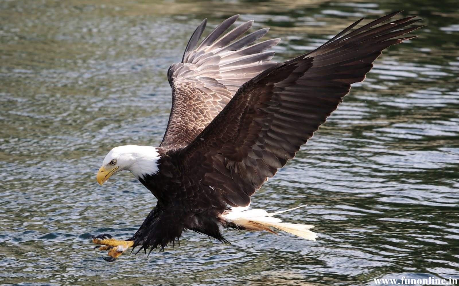 Wallpapers for desktop eagles wallpapersafari - Harpy eagle hd wallpaper ...