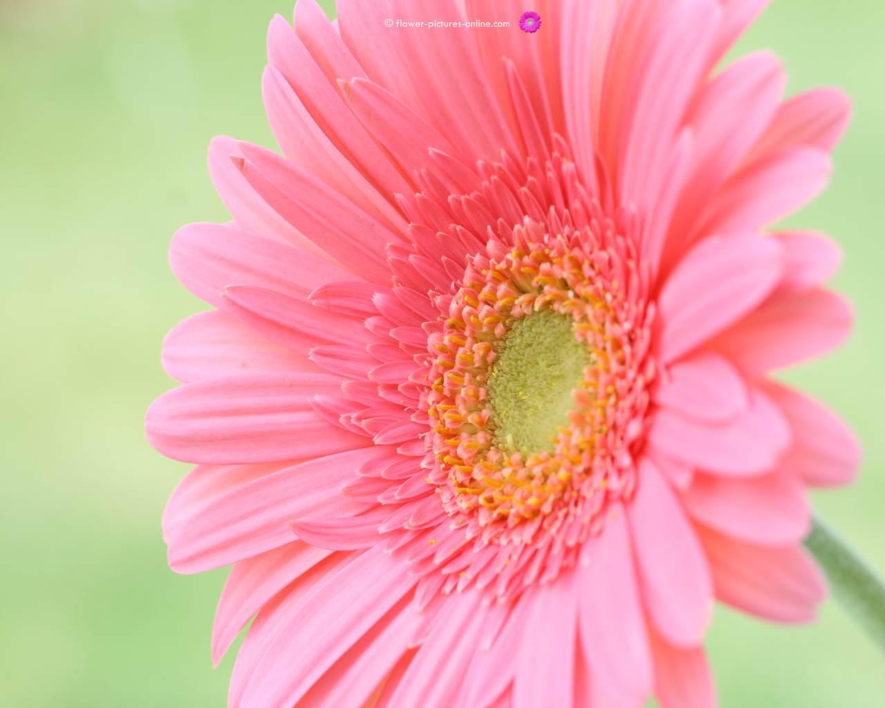 pink flower wallpaper flower wallpapers flower wallpaper pink flower 1280x1024