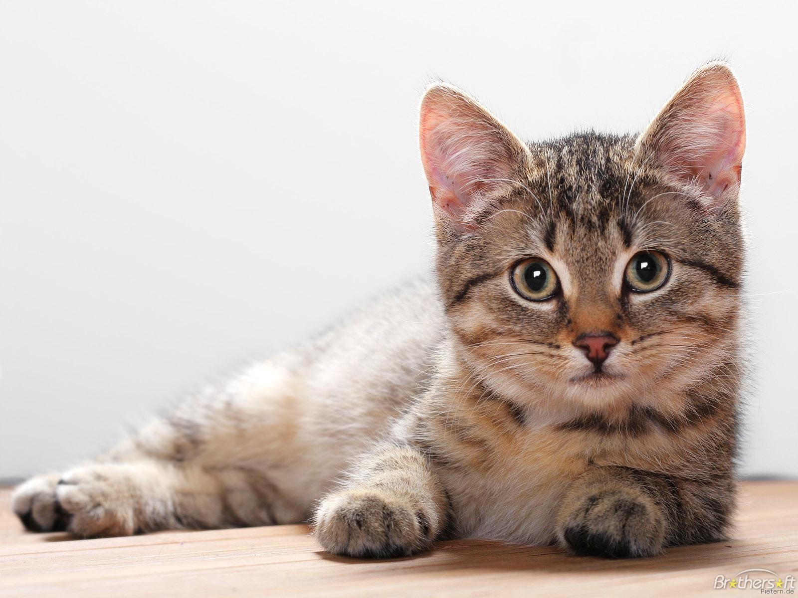 Download Cat Wallpaper Cat Wallpaper Download 1600x1200