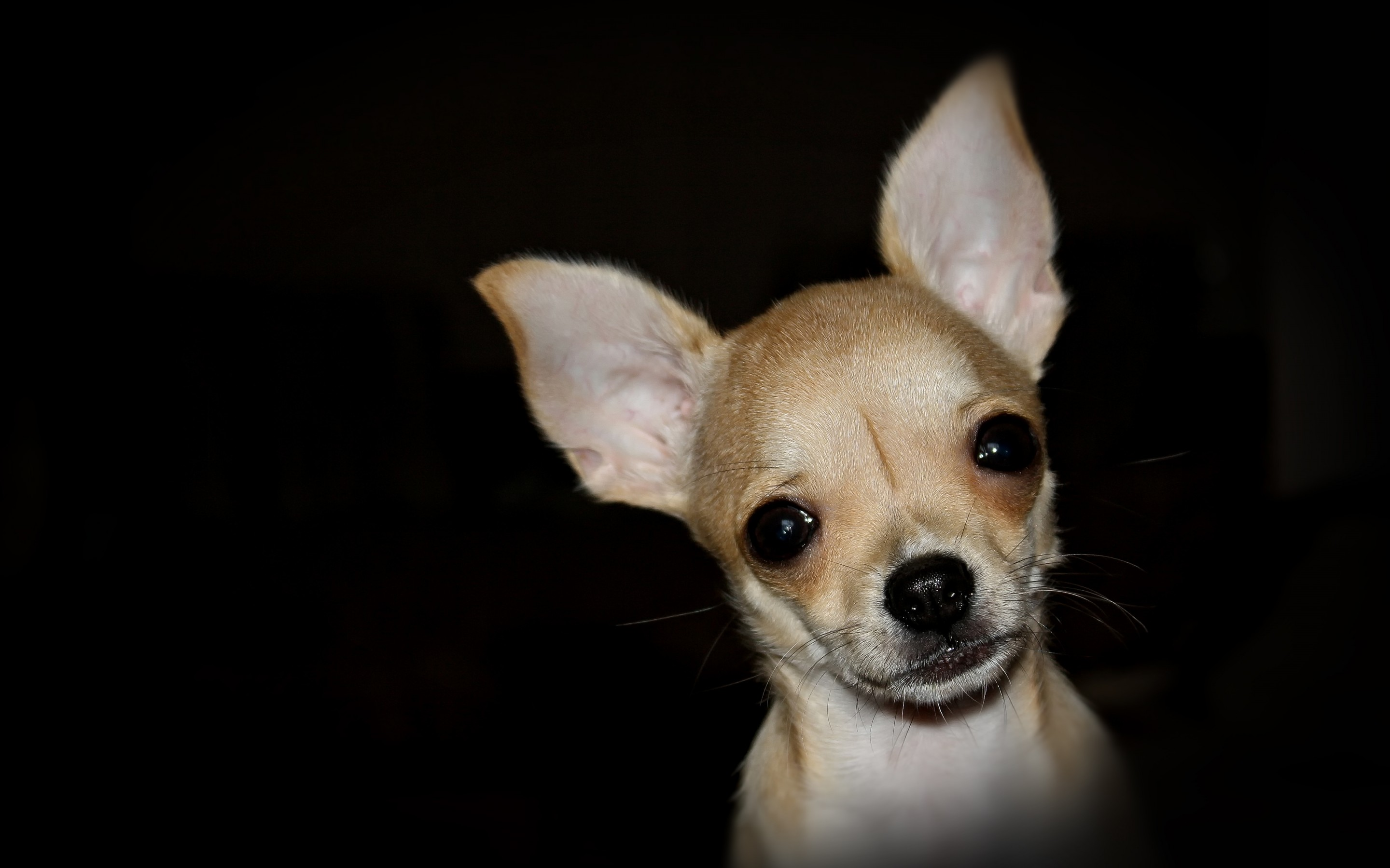 Chihuahua Desktop Backgrounds