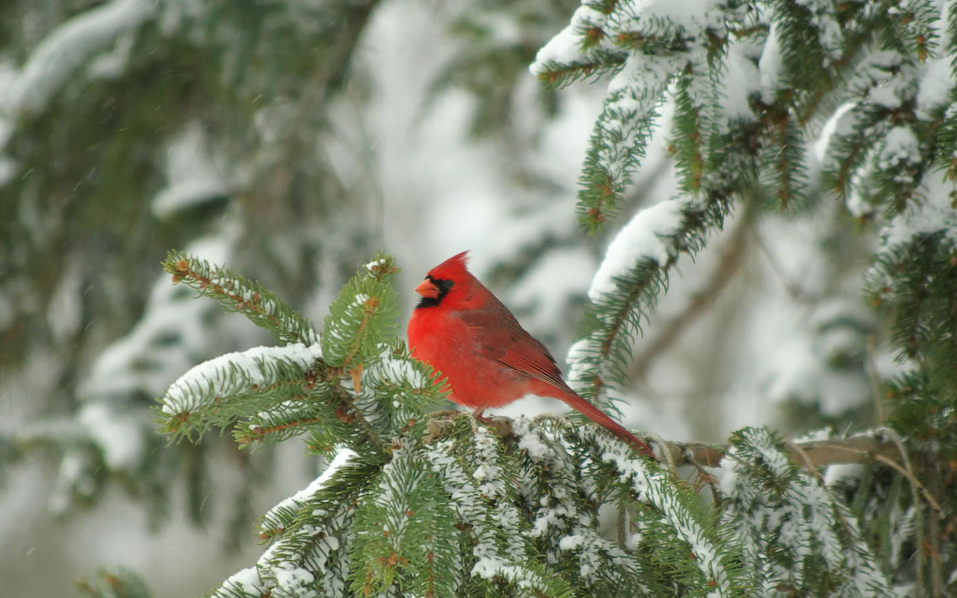 red cardinal bird on white christmas tree hd wallpaper Car Pictures 1920x1200