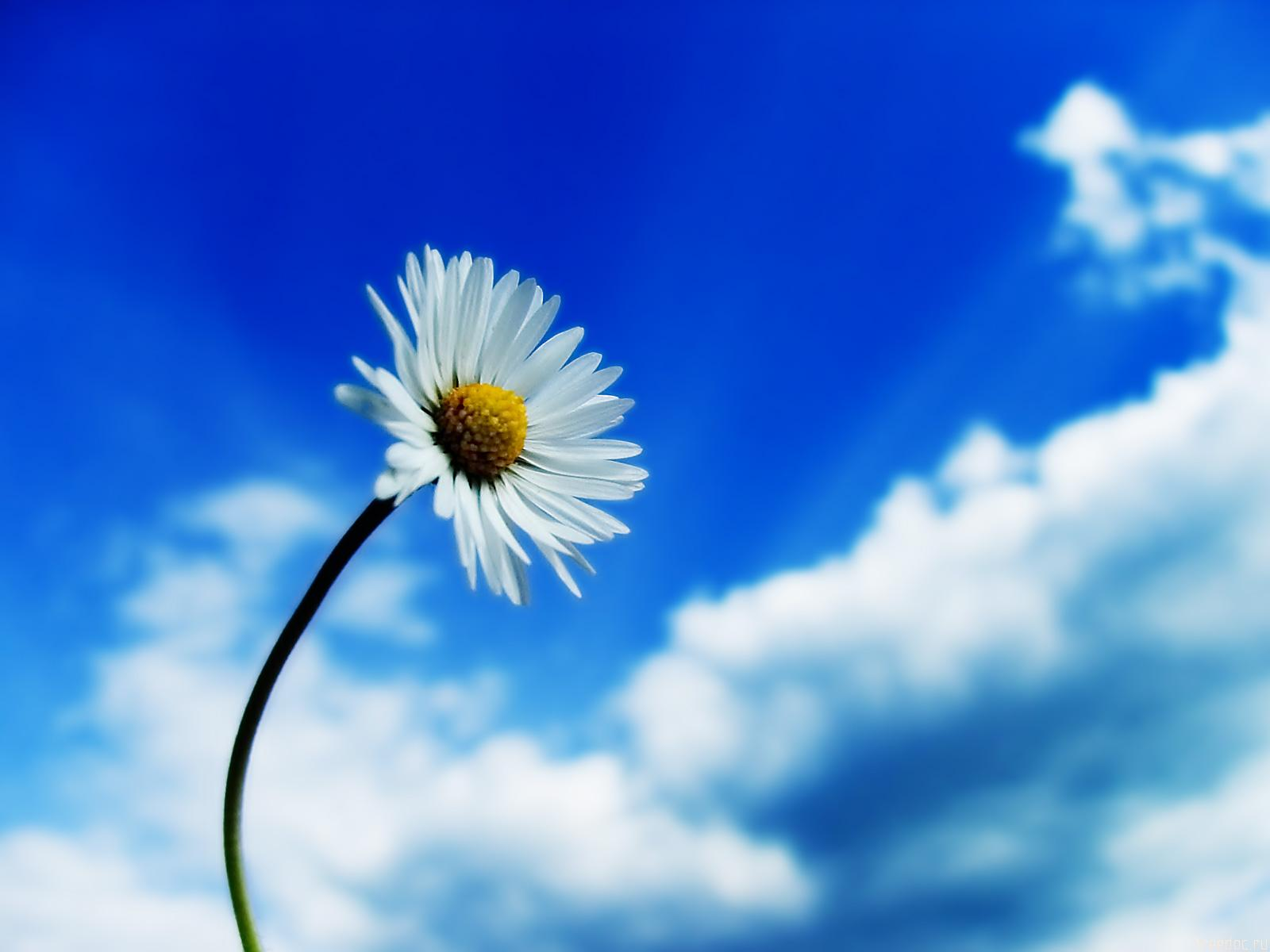 Beautiful Sky White Flower Wallpapers HD Wallpapers 1600x1200