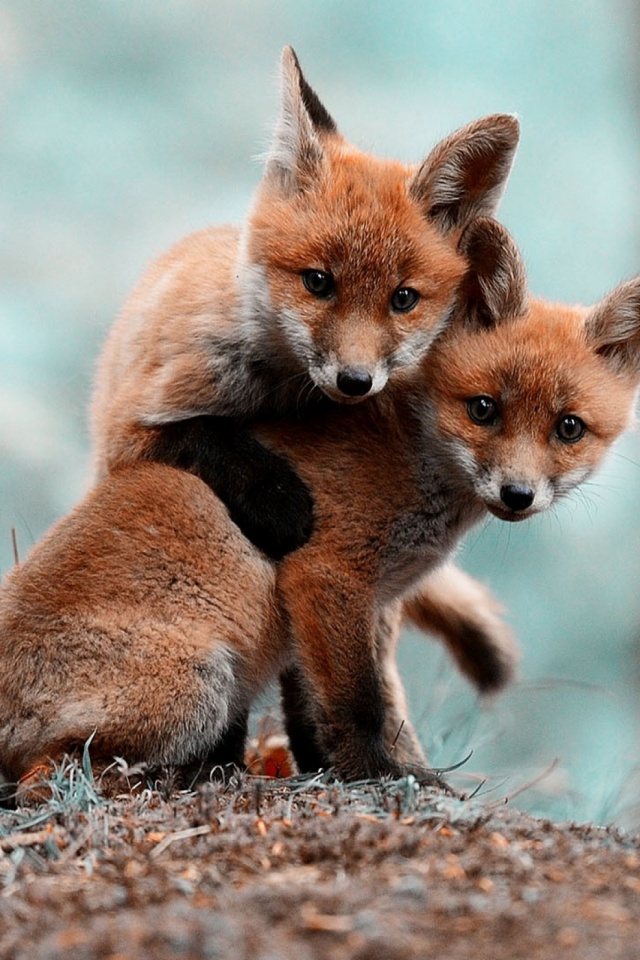 Animals Foxes Mobile Wallpaper Mobiles Wall Present Of Delightful 640x960