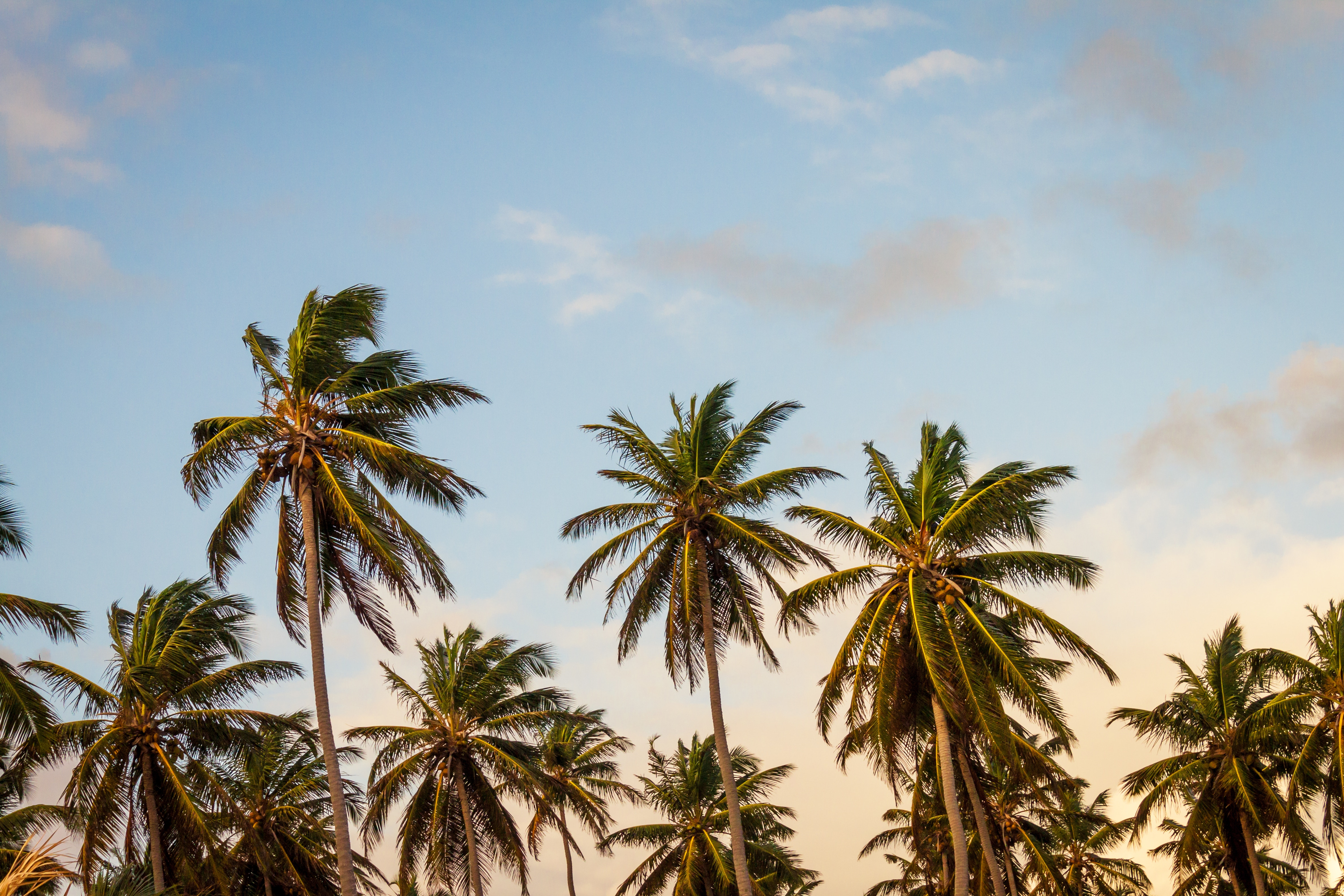 Free Download 5374379 4752x3168 Tropical Holiday Palm Tree Tree Coconut 4752x3168 For Your Desktop Mobile Tablet Explore 61 Holiday Desktop Background Free Holiday Wallpaper Christmas Desktop Wallpaper Christmas Desktop Free Holiday Wallpaper