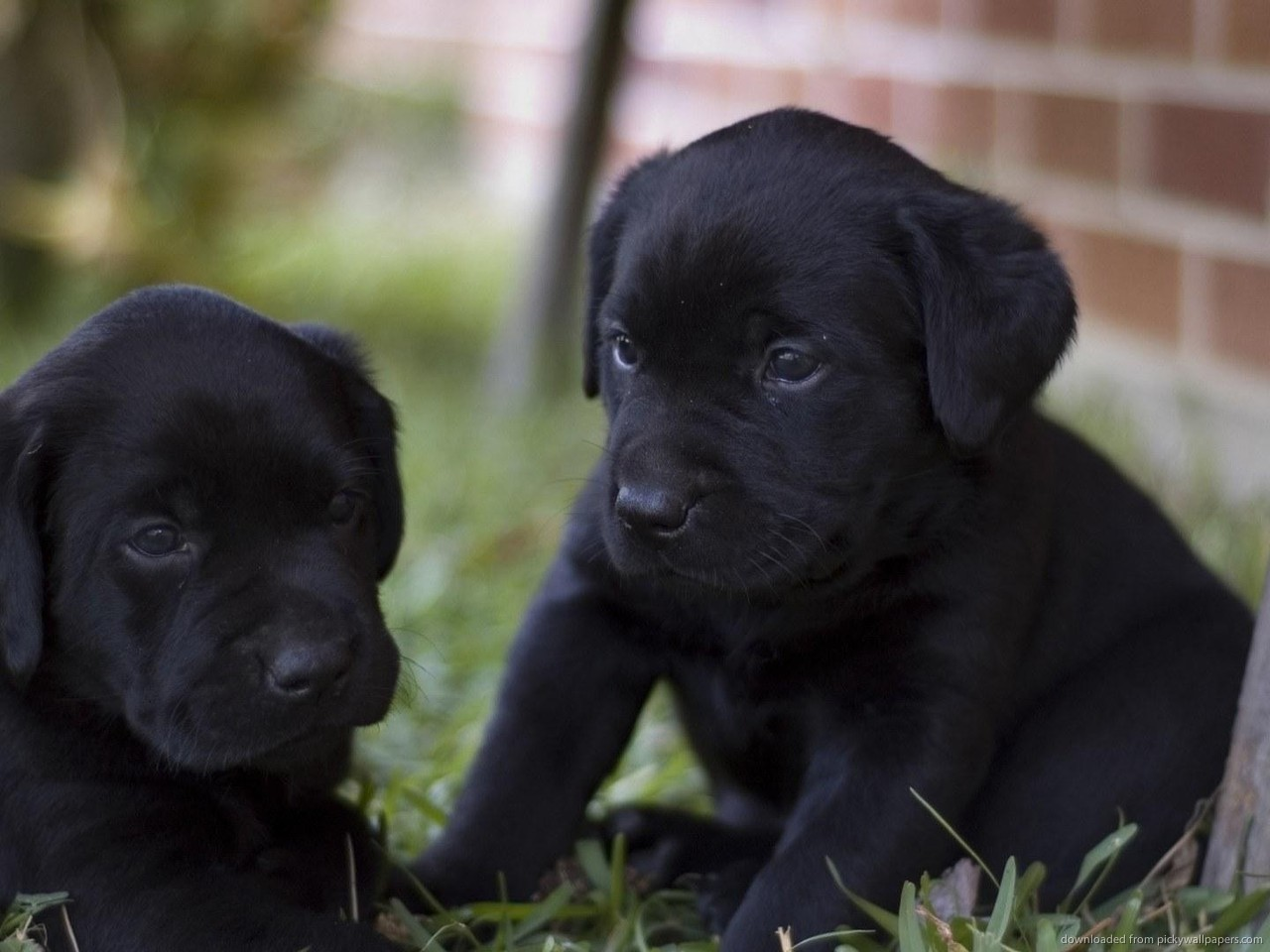 Black Lab Puppy Wallpaper Two black lab puppies for 1280x960