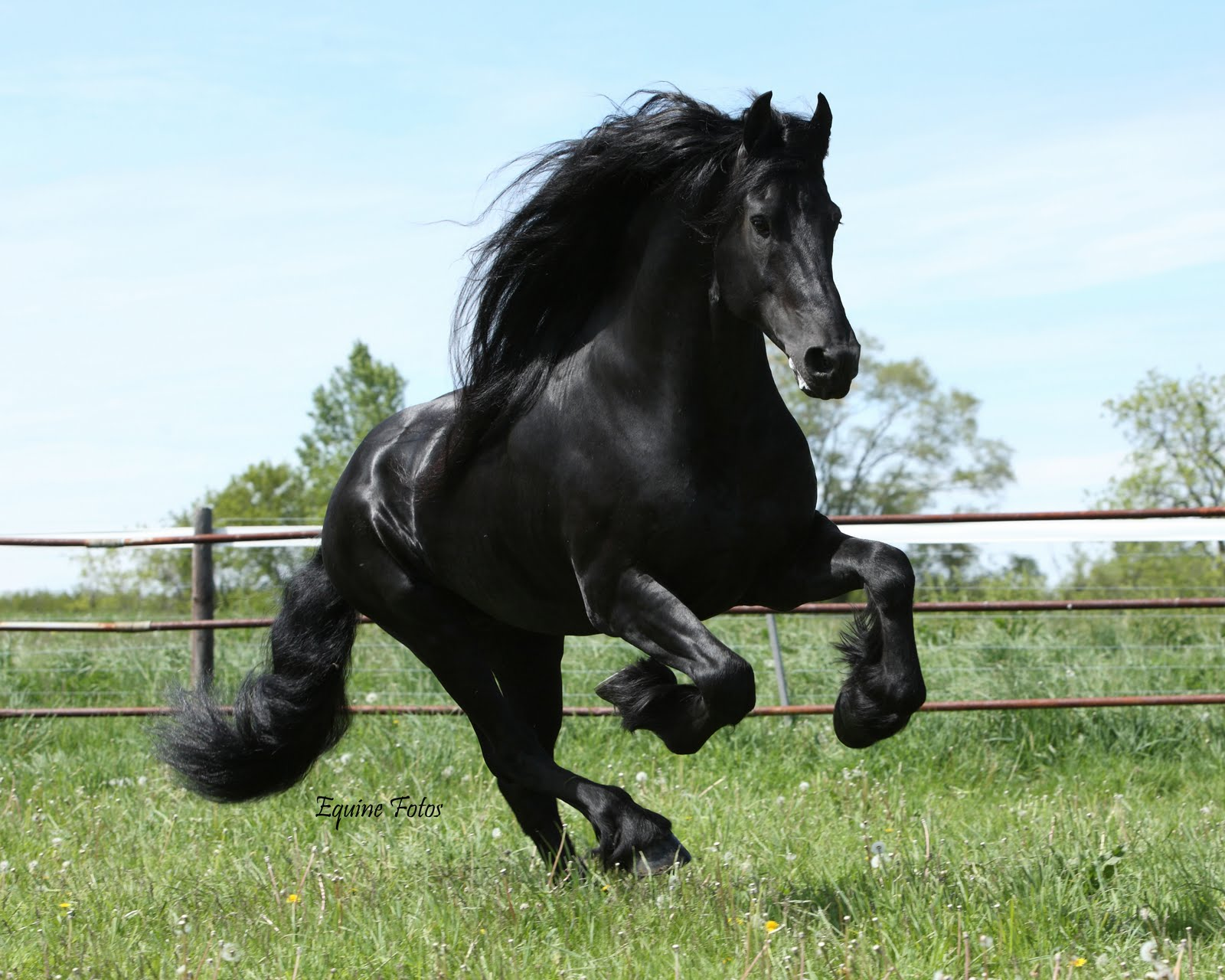 47 Free Friesian Horse Wallpaper On Wallpapersafari