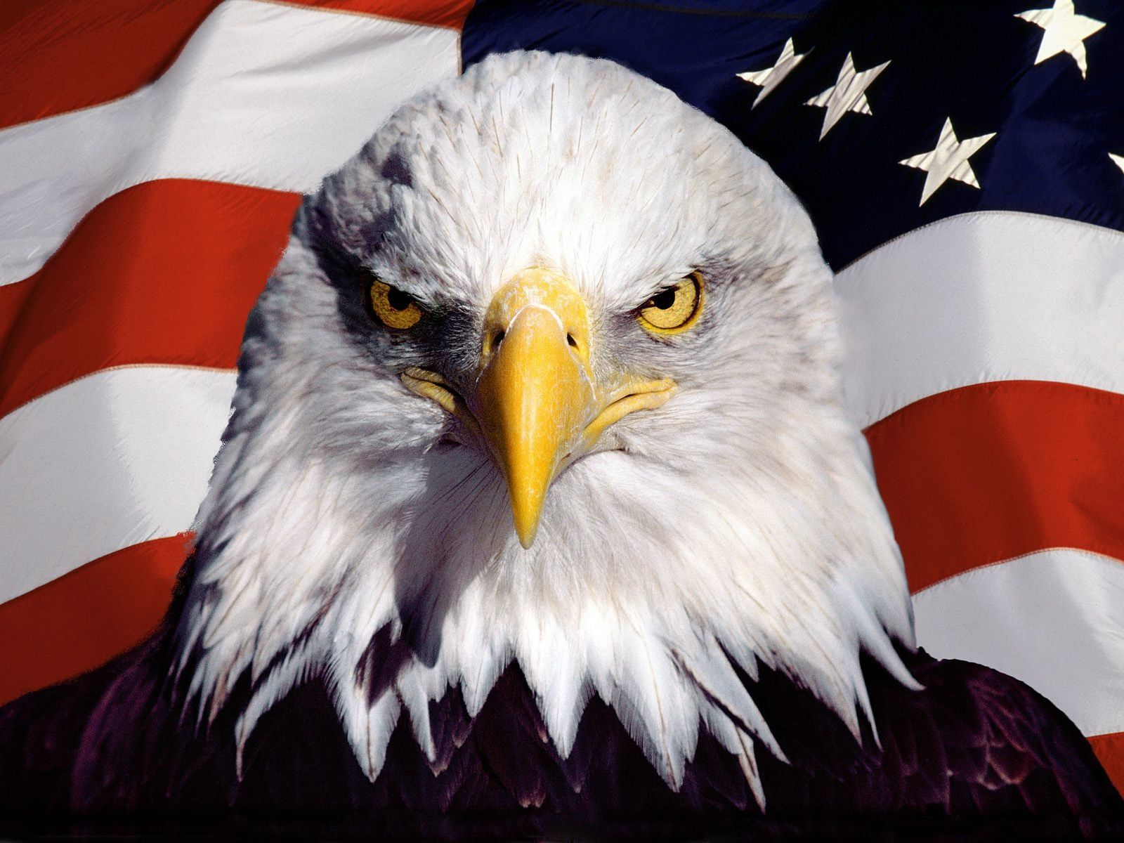 American Bald Eagle with American US Flag Stock Photo and 1600x1200
