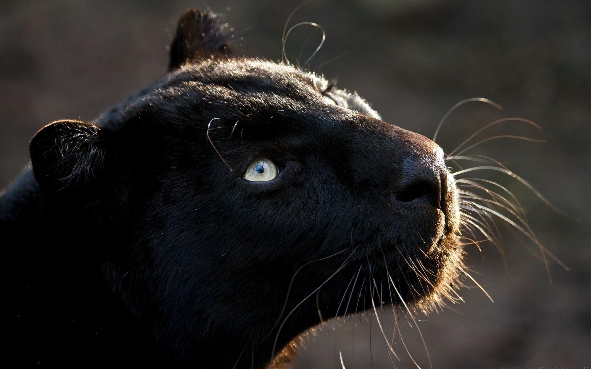 Download Black Jaguar Animal Wallpaper pictures in high 1920x1200