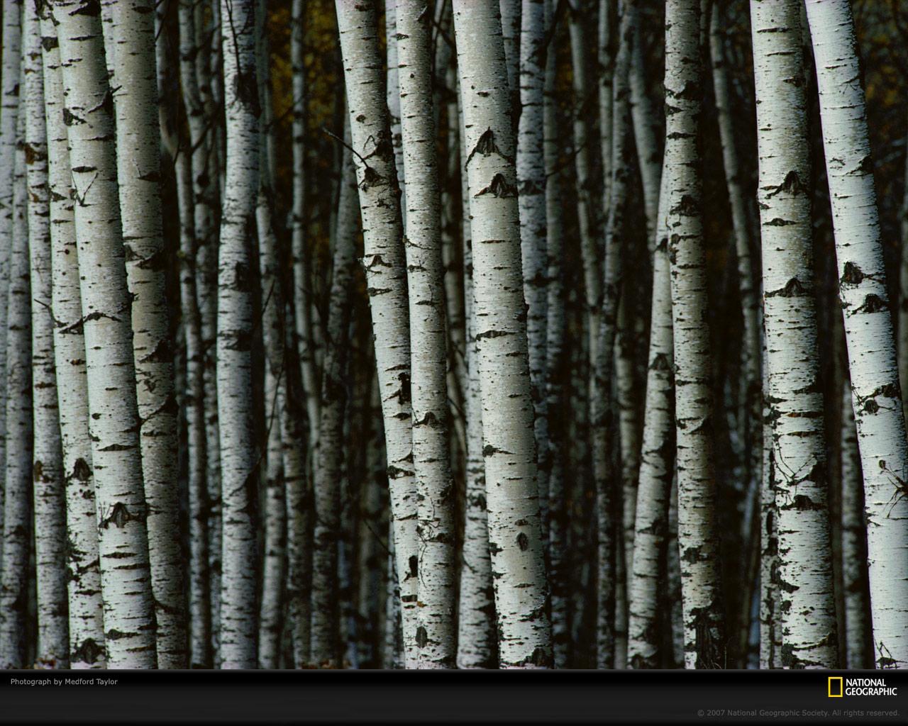 White Birch Trees Picture White Birch Trees Desktop Wallpaper 1280x1024