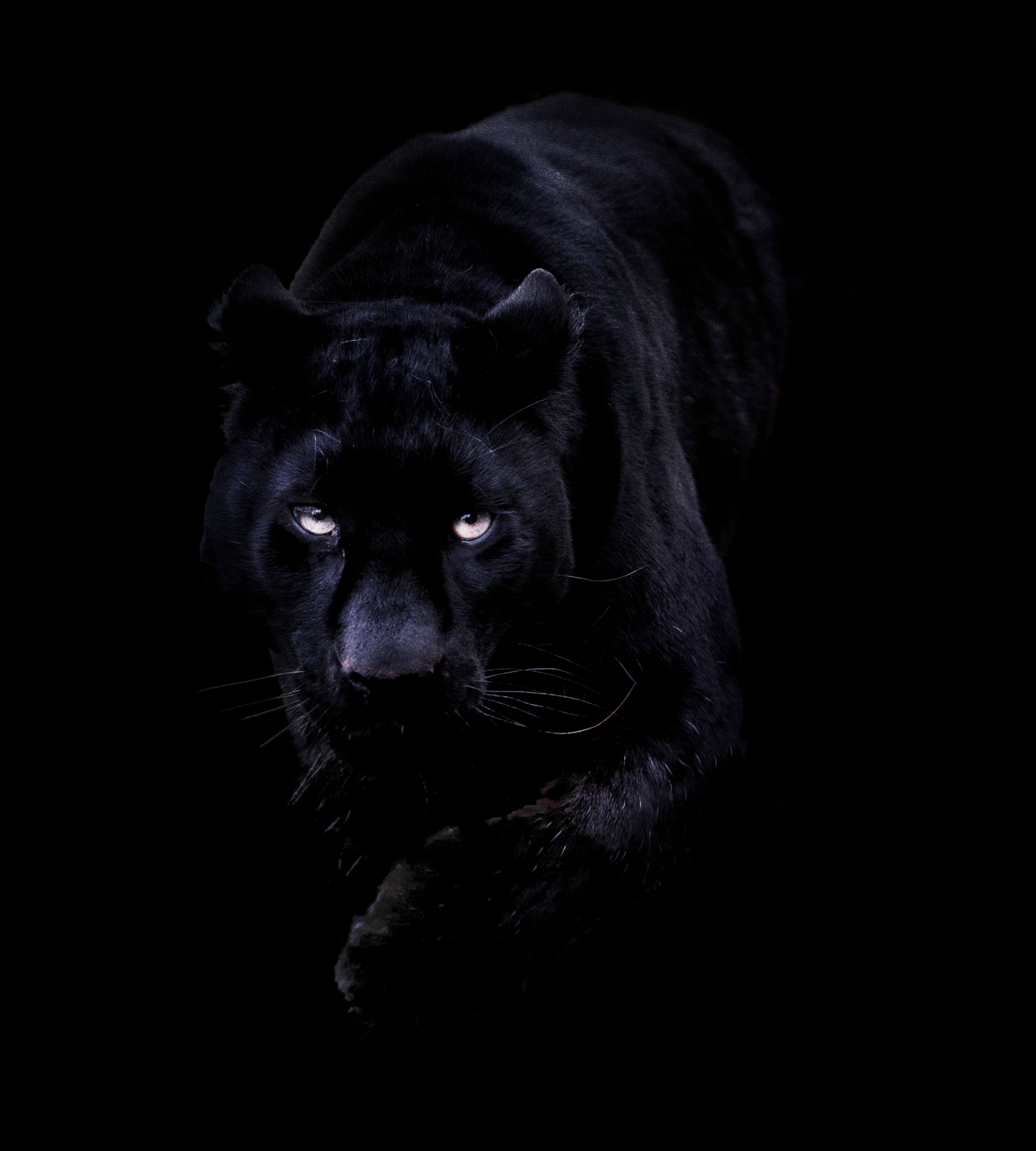 Khan the Black Leopard   Kent England 3860x4290