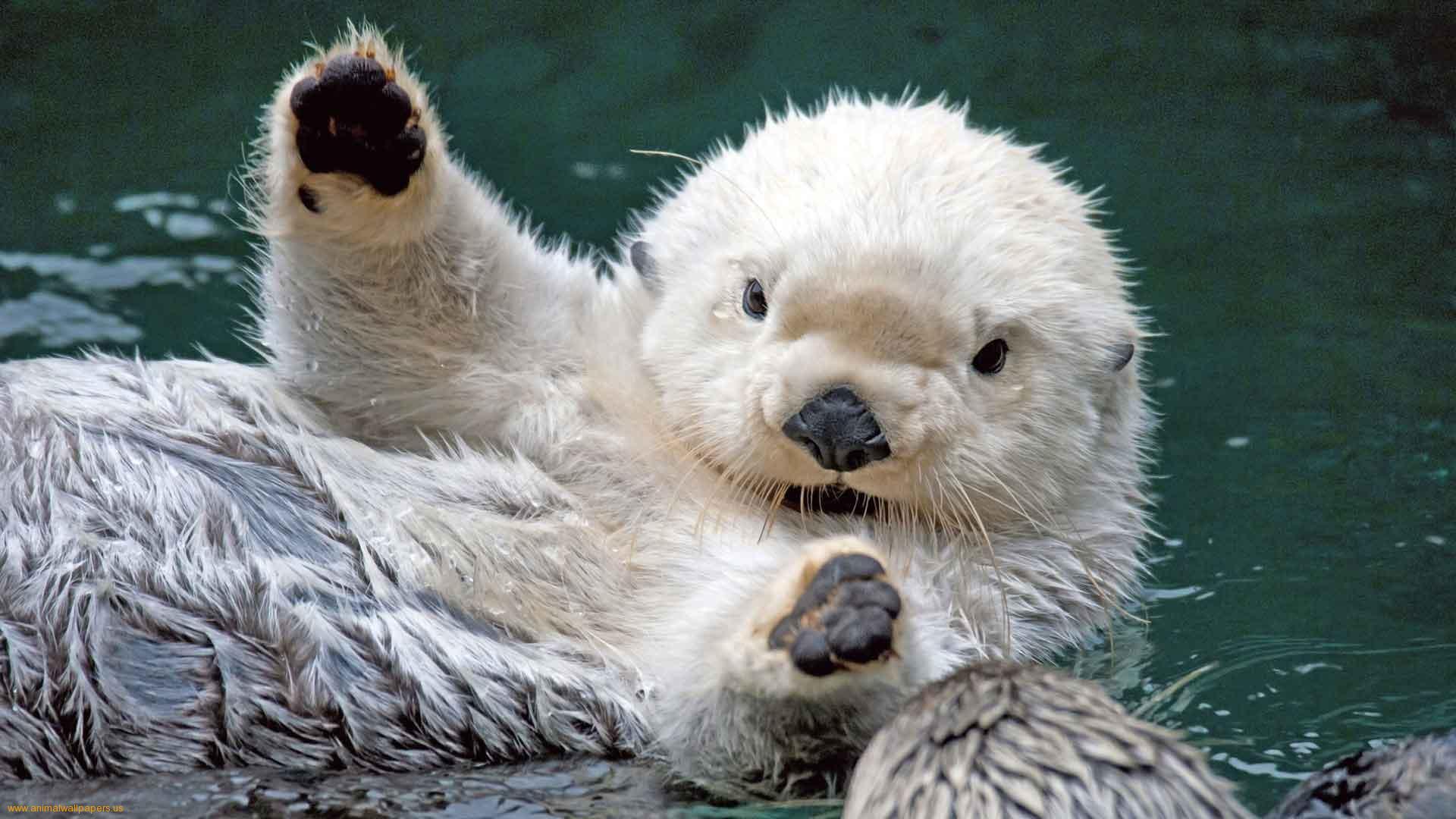 Cute Baby Sea Otters Wallpaper 1920x1080 Full HD Wallpapers 1920x1080