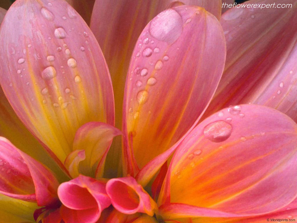 Stunning Beauty Flower Wallpaper 1024x768