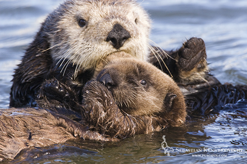 Cute Sea Otter Pup Wallpaper Images Pictures   Becuo 500x333