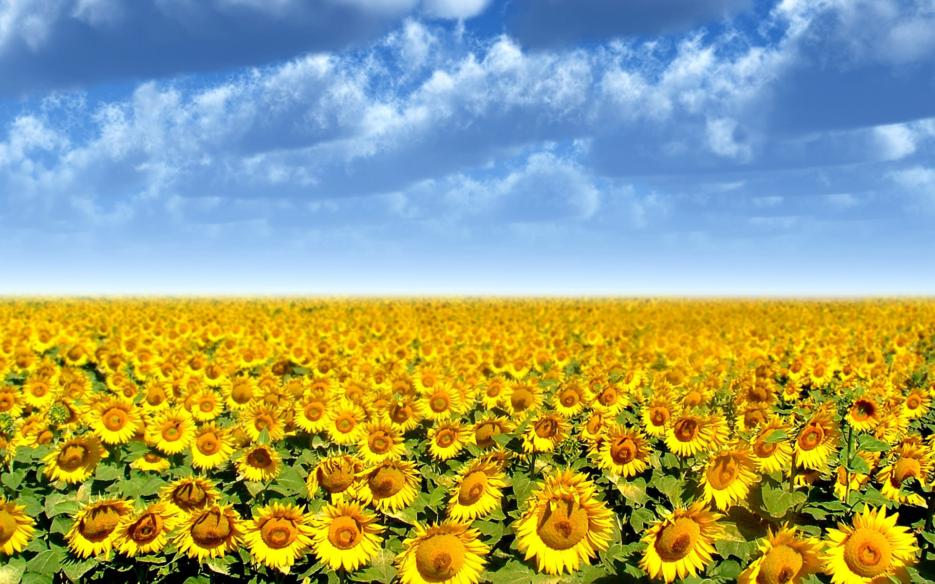 Sunflower field wallpaper 2333 1920x1200