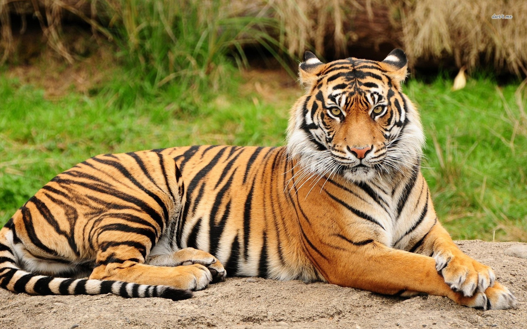 Cool Hd Animal Tiger Wallpapers Background in Animals WallpaperID 1680x1050