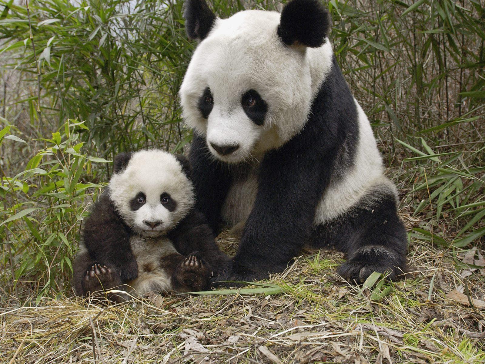 Baby Panda 3d wallpaper 3d wallpapers 1600x1200