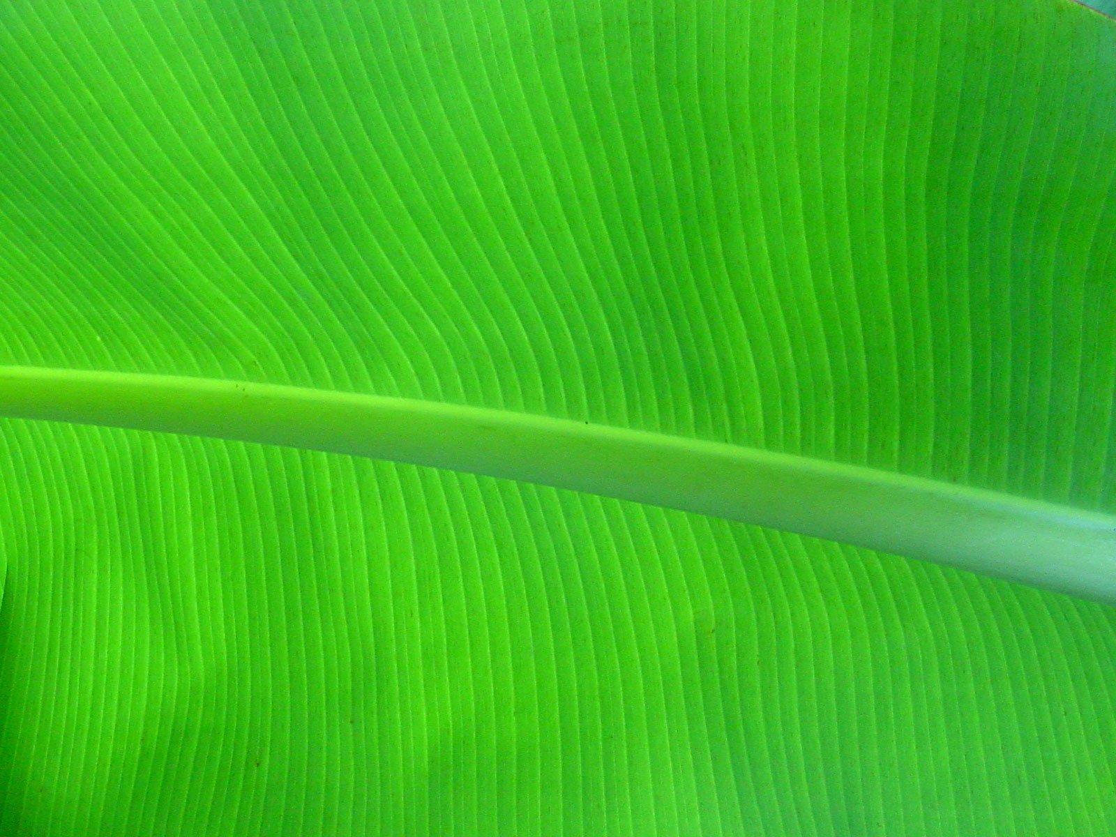 Palm Leaf Wallpaper Banana palm leaf by sassenach 1600x1200