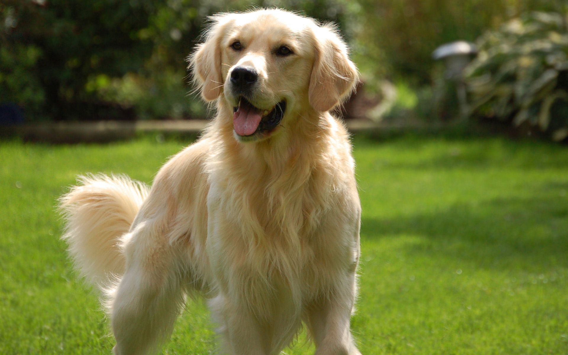High Resolution Golden Retriever Wallpapers Photos download in 1920x1200