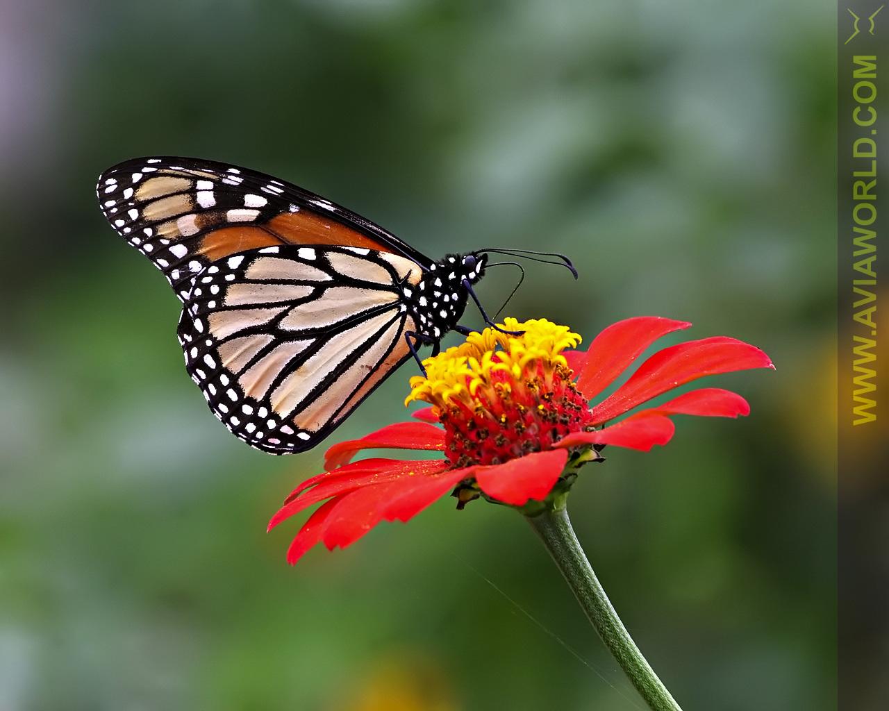 HD Animal Wallpapers HD Butterflies wallpapers 1280x1024