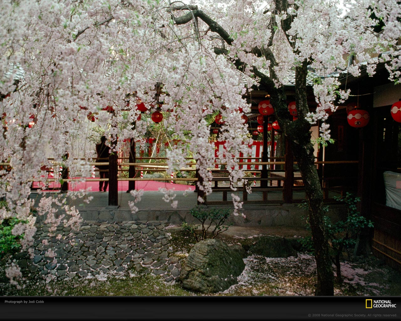 japanese garden cherry blossom paintings home design ideas