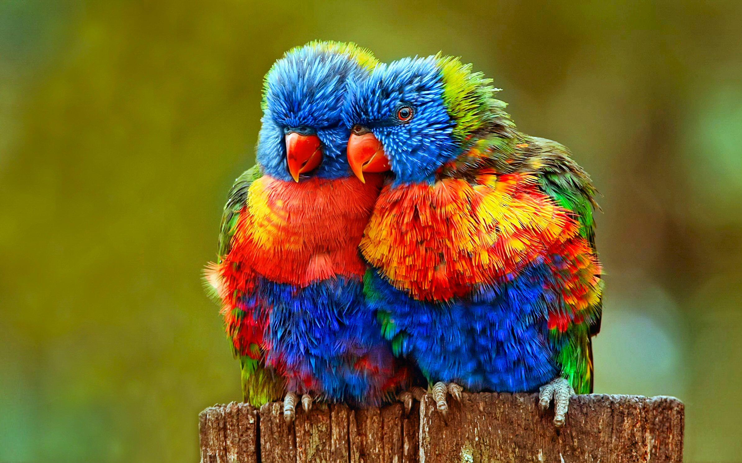 92 Rainbow Lorikeet HD Wallpapers Background Images   Wallpaper 2389x1493