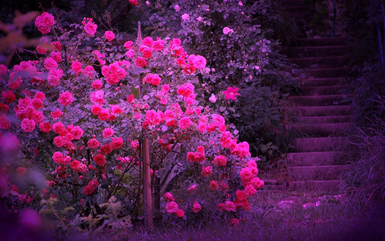 Beautiful Color   Roses Wallpaper 18577543 1280x800