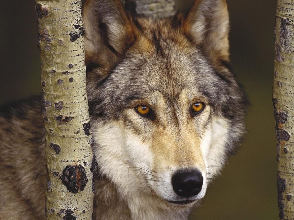 Fondos de Lobo encerrado Fondos de pantalla de Lobo 1024x768