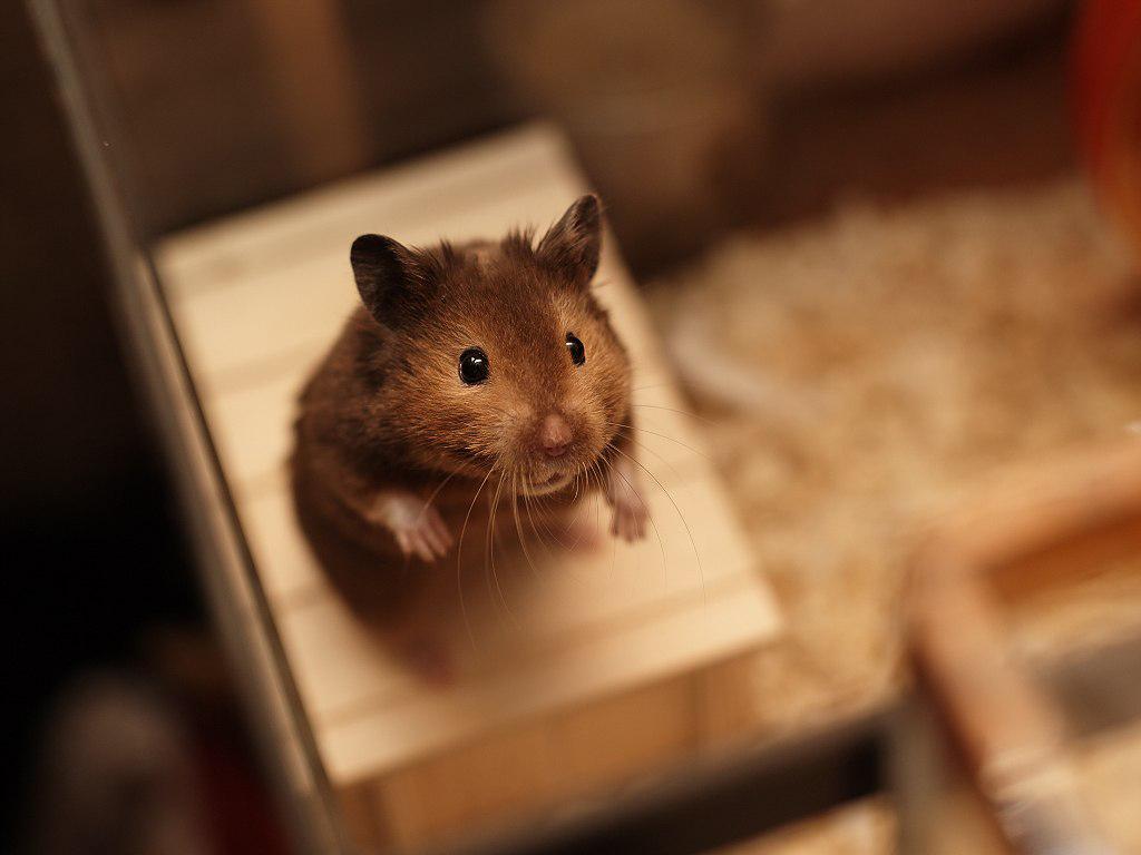 Cute Hamster Wallpaper HD 1024x768