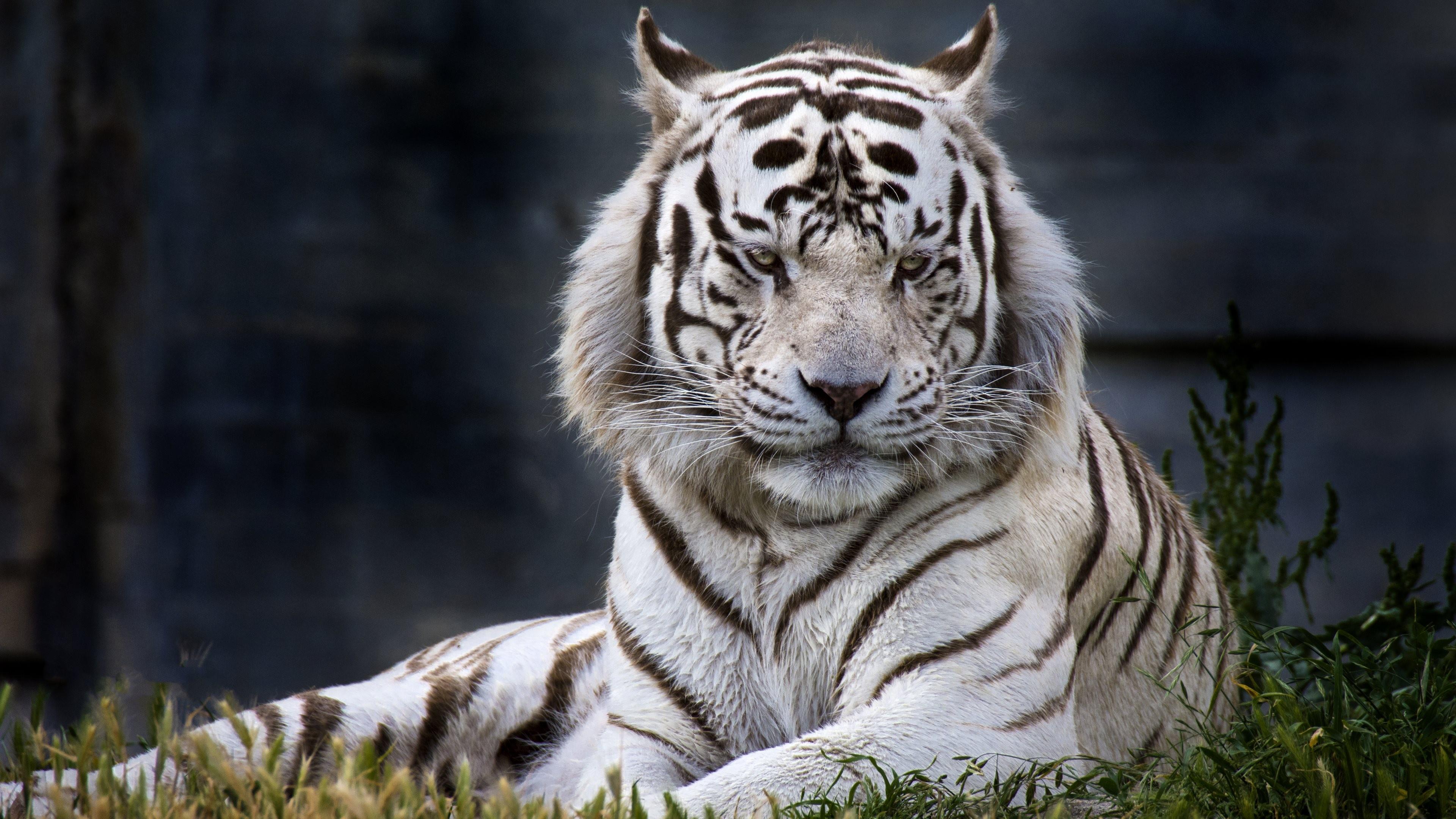 19+ 4k Tiger Wallpapers on WallpaperSafari