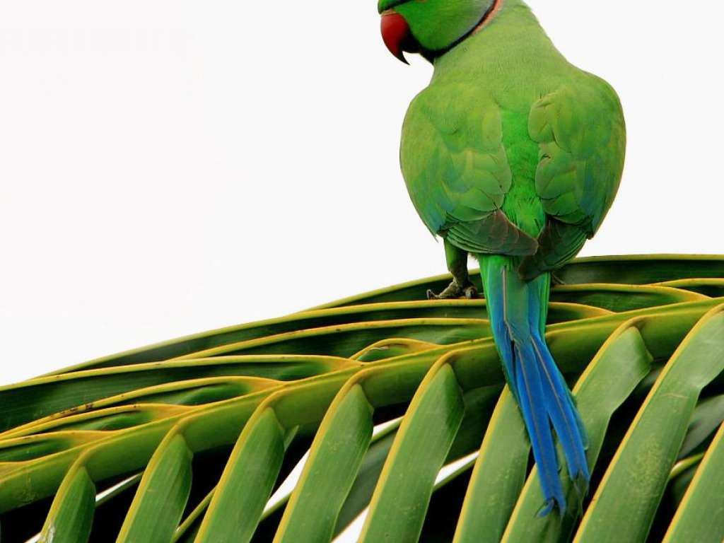 Parrot Wallpaper HD Wallpapers Pictures Images Backgrounds 1024x768