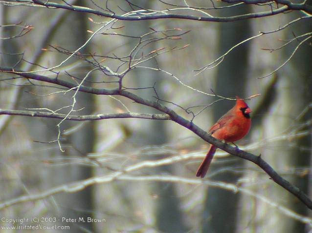Red Cardinal Wallpaper 638x478