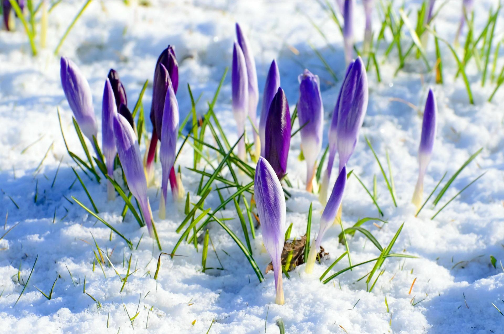 Flowers in Snow Wallpapers   Top Flowers in Snow Backgrounds 1920x1272