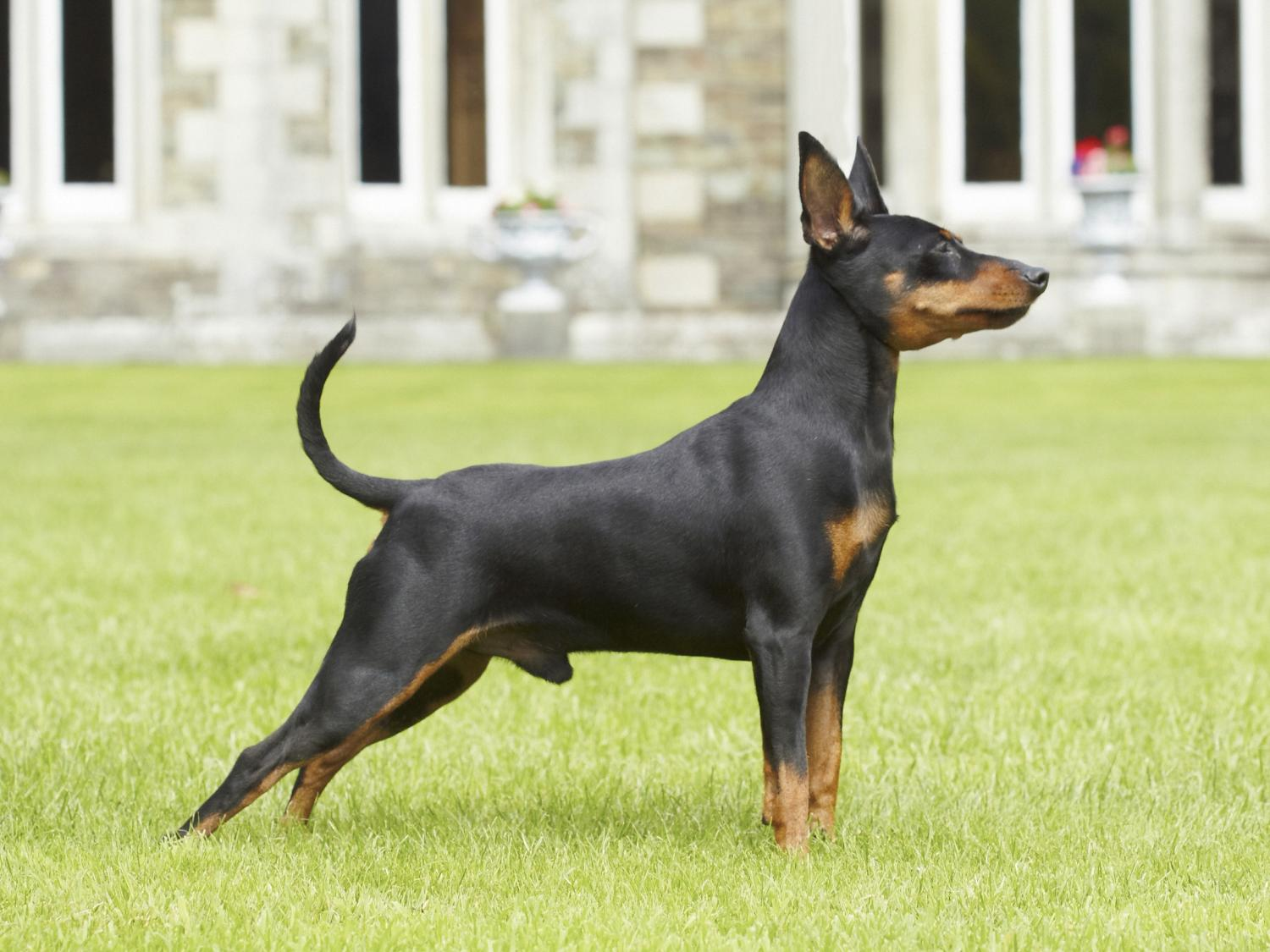 Miniature Pinscher Hd Wallpapers Download 1500x1125