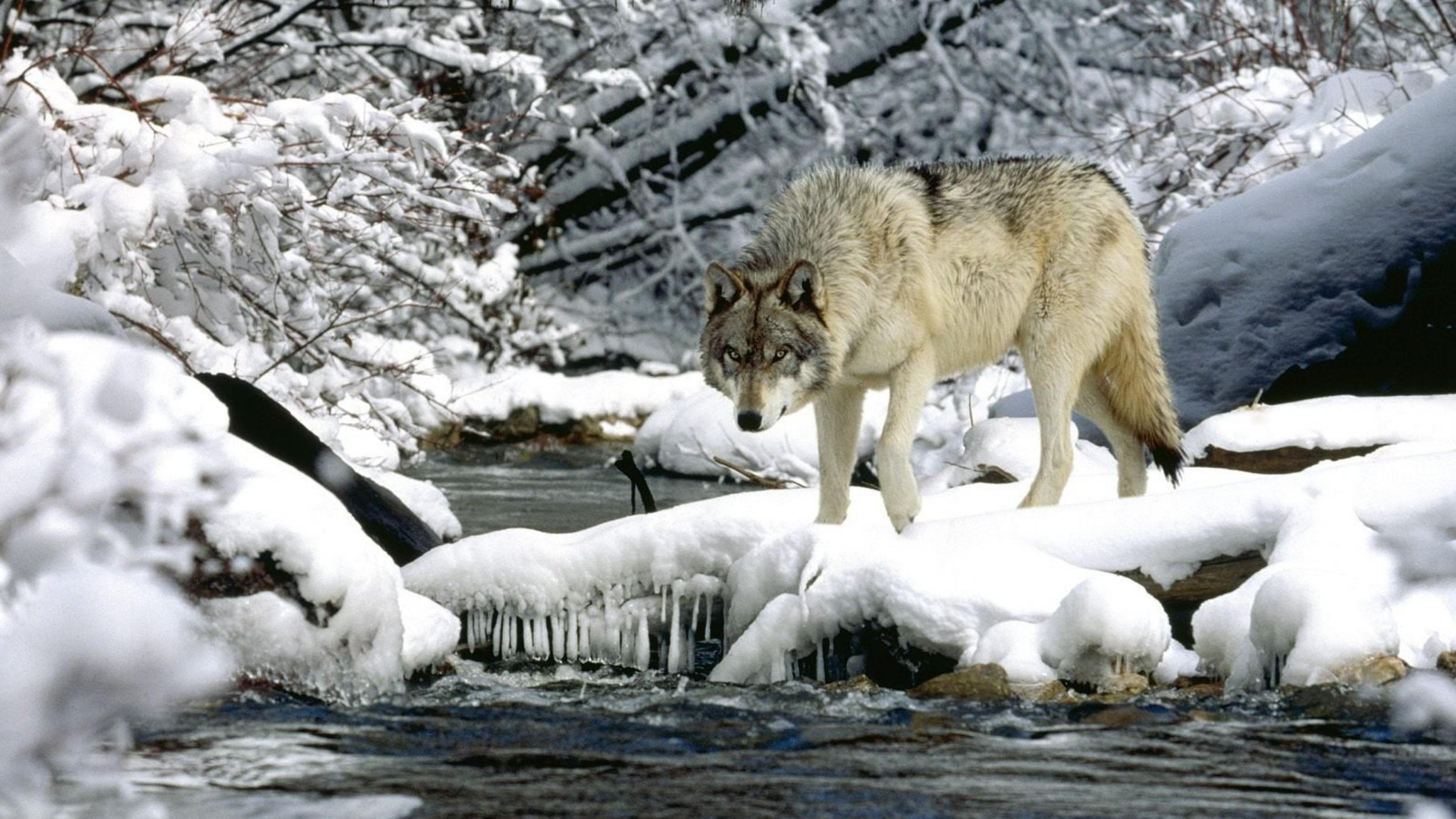 Wallpaper Snow Alpha Wolf