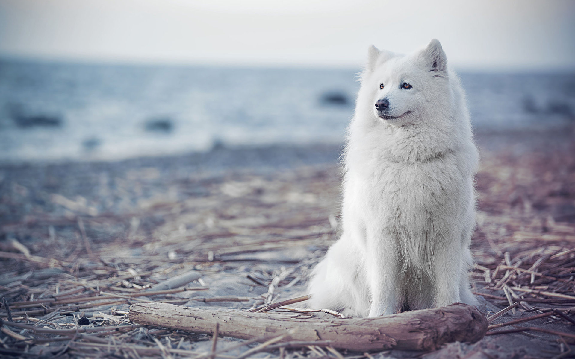 Samoyed wallpapers HD for desktop backgrounds 1920x1200