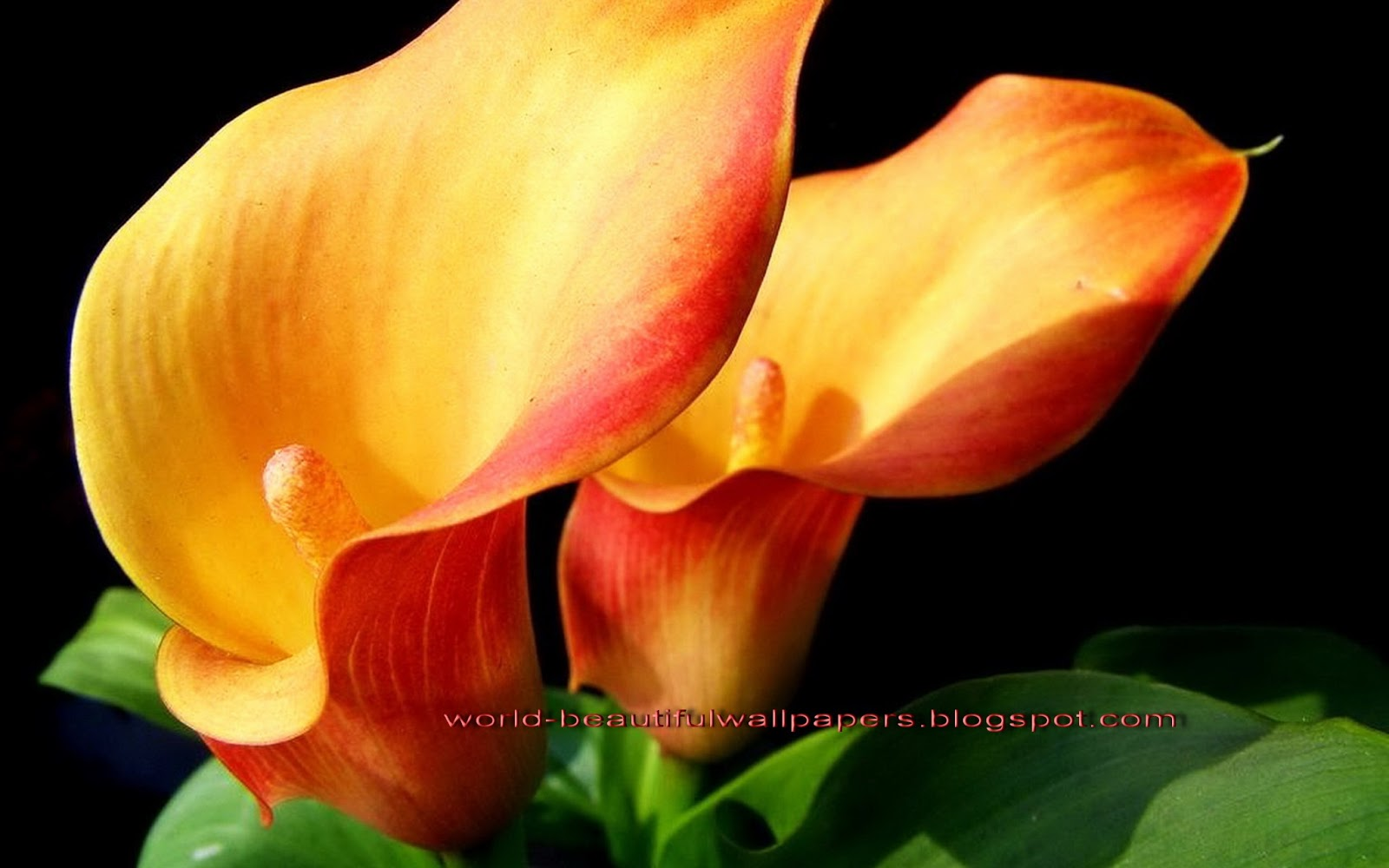calla lily flowers wallpaper HD Wallpapers 1600x1000