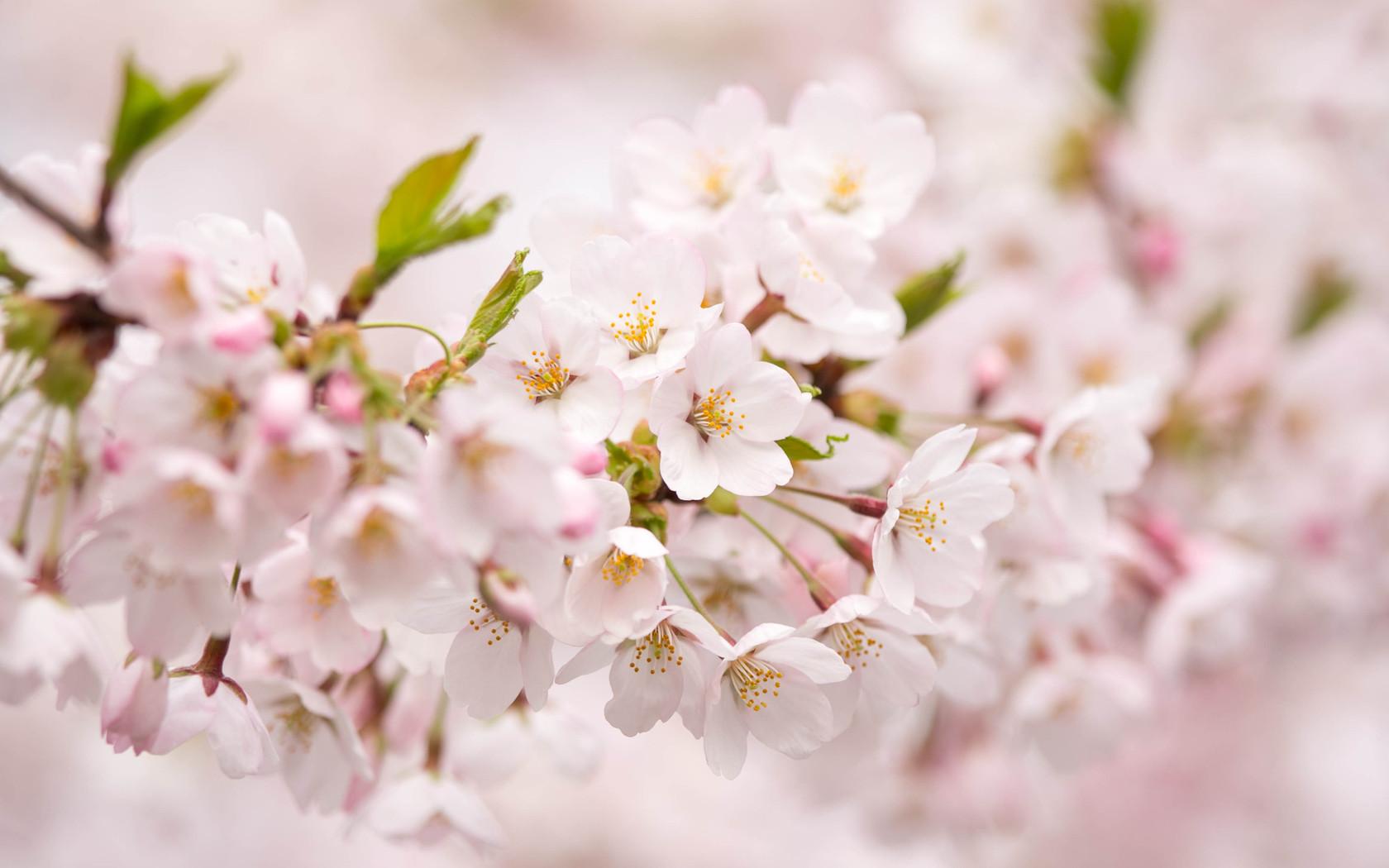 74 sakura flower wallpaper on wallpapersafari