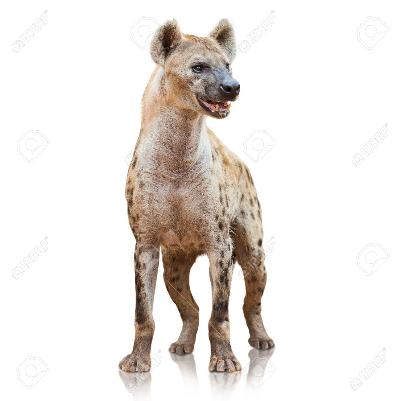45 Hyena Background On Wallpapersafari