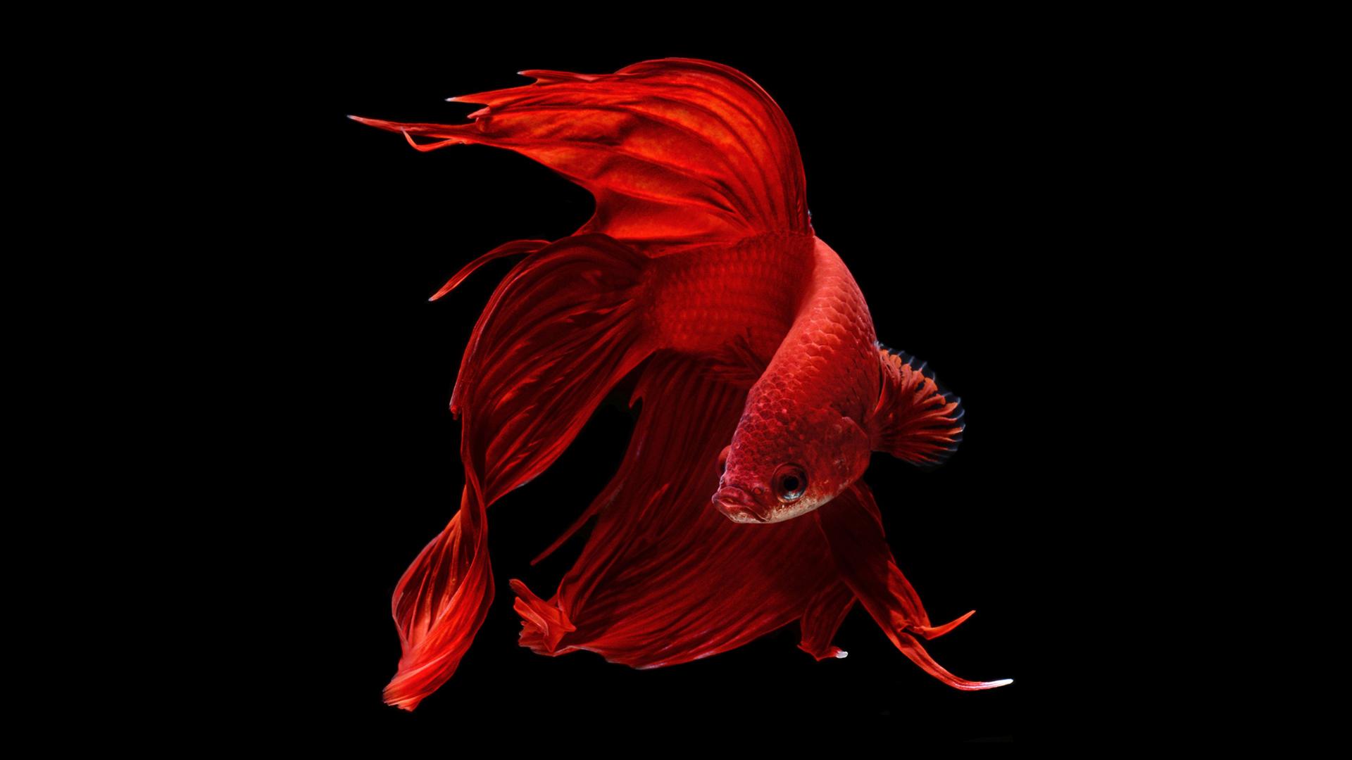Red fish wallpaper wallpapersafari for Betta fish live wallpaper