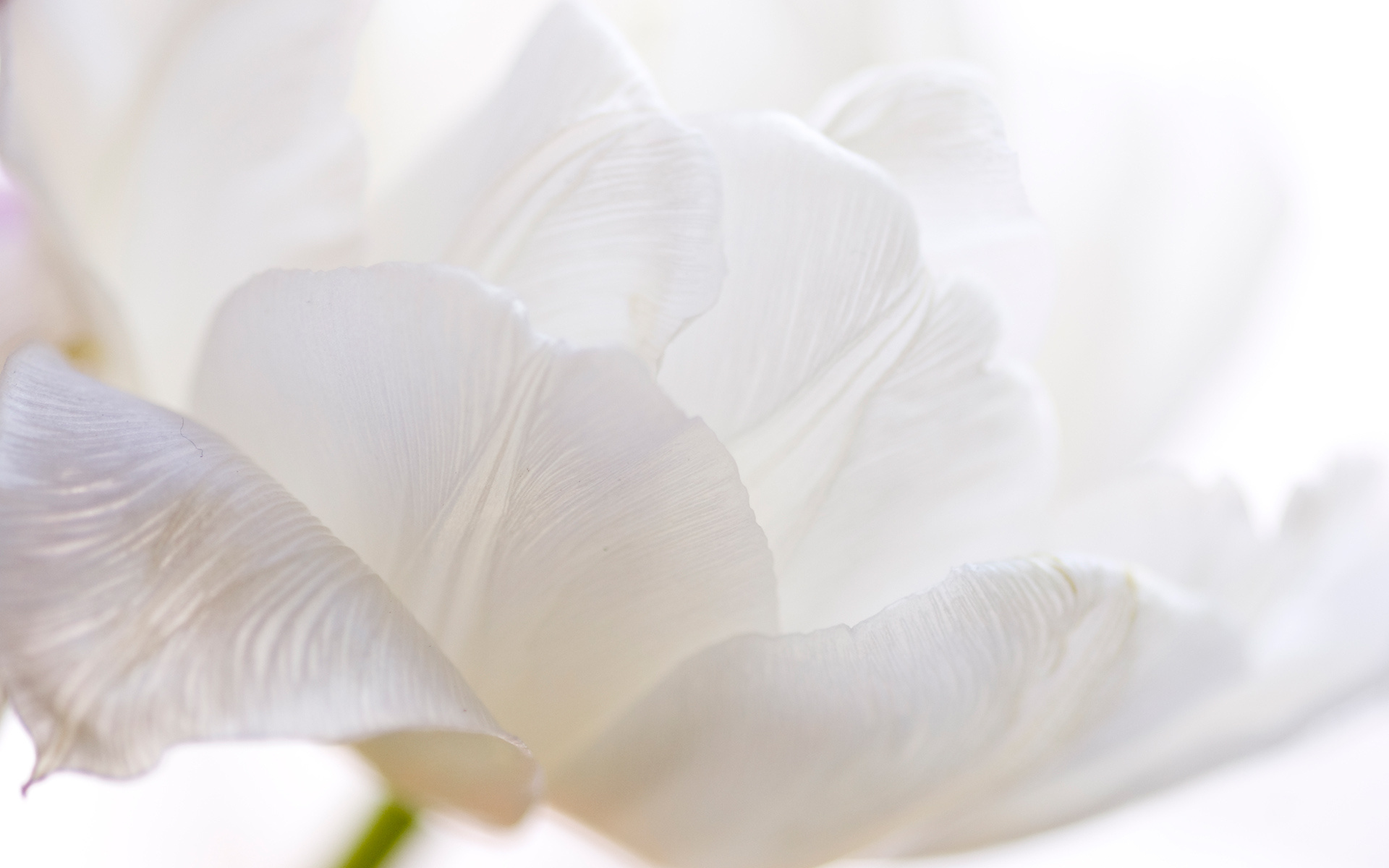 White Flowers Wallpaper for PC Full HD Pictures 1920x1200